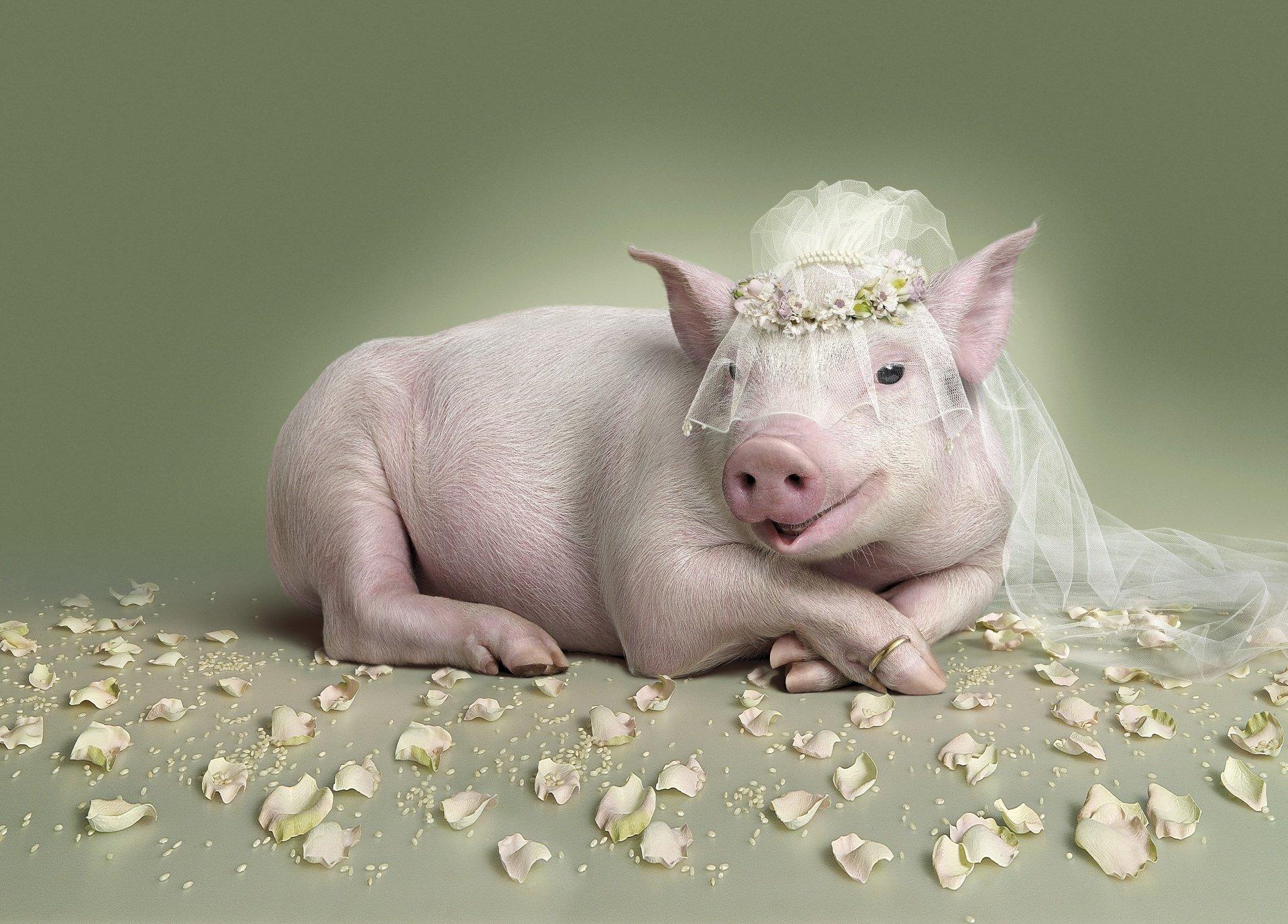 все-таки обои года свиньи это тут привыкшие