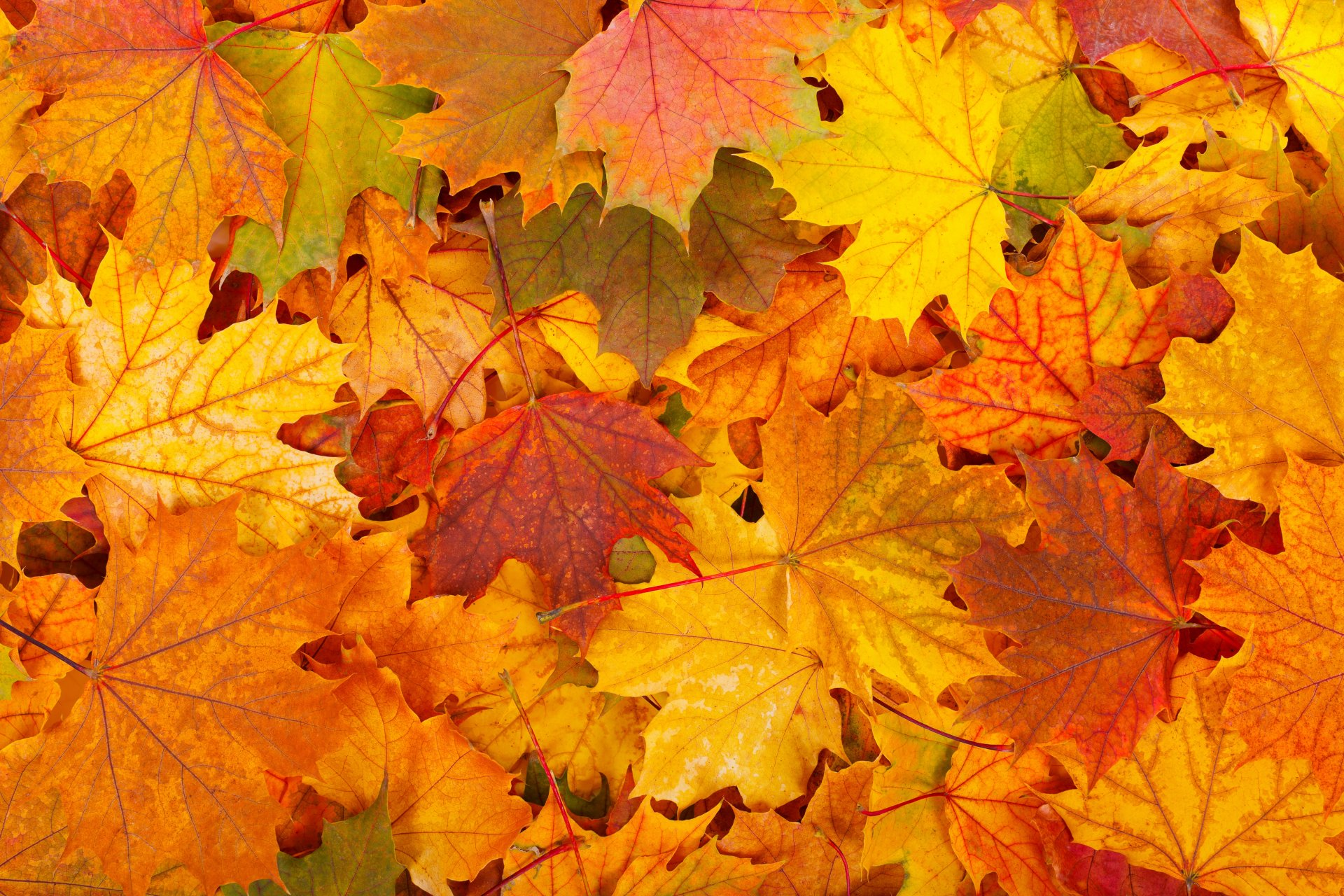 маленькой дугой осенний листопад картинки вид грызунов распространен
