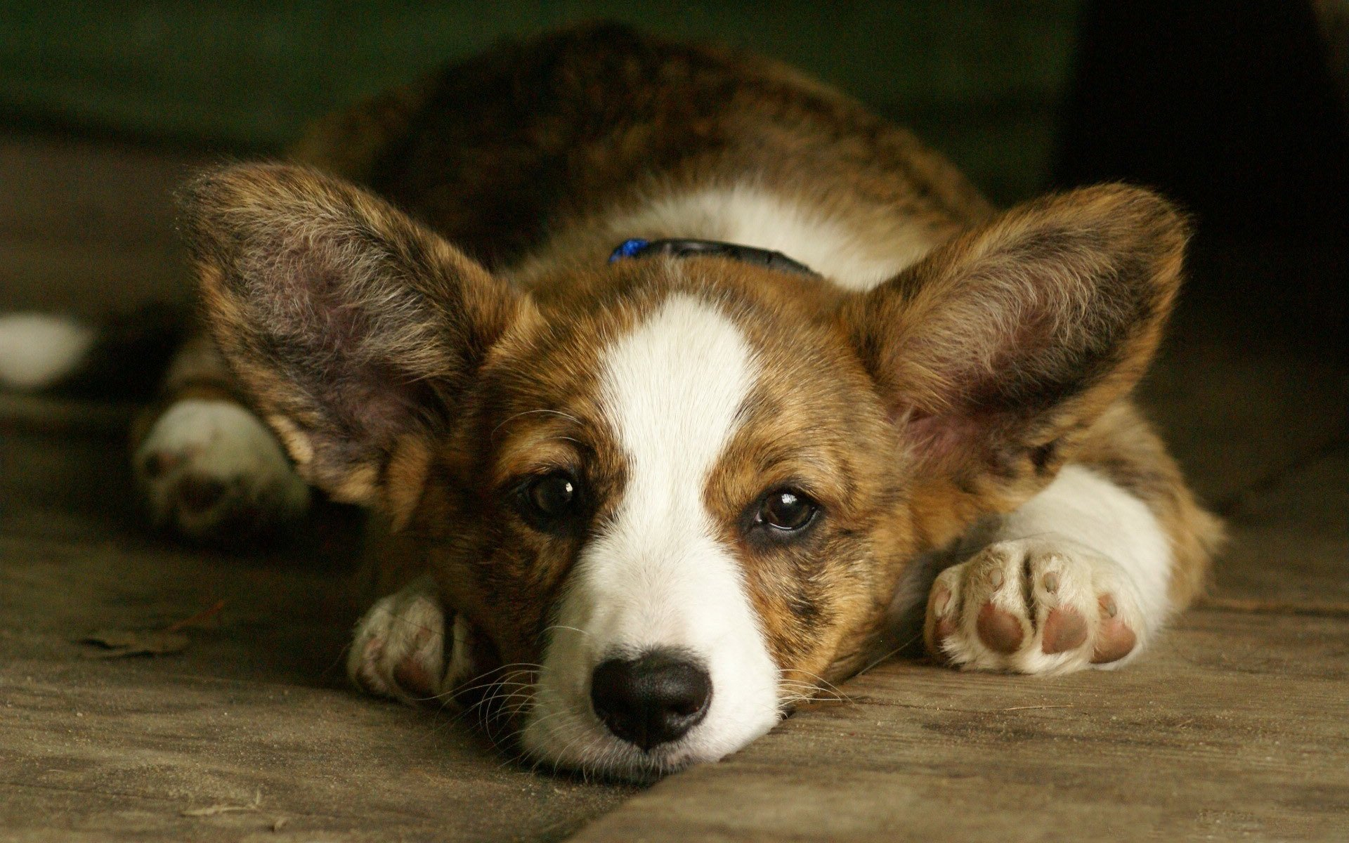 собака мордочка уши  № 1069377 загрузить