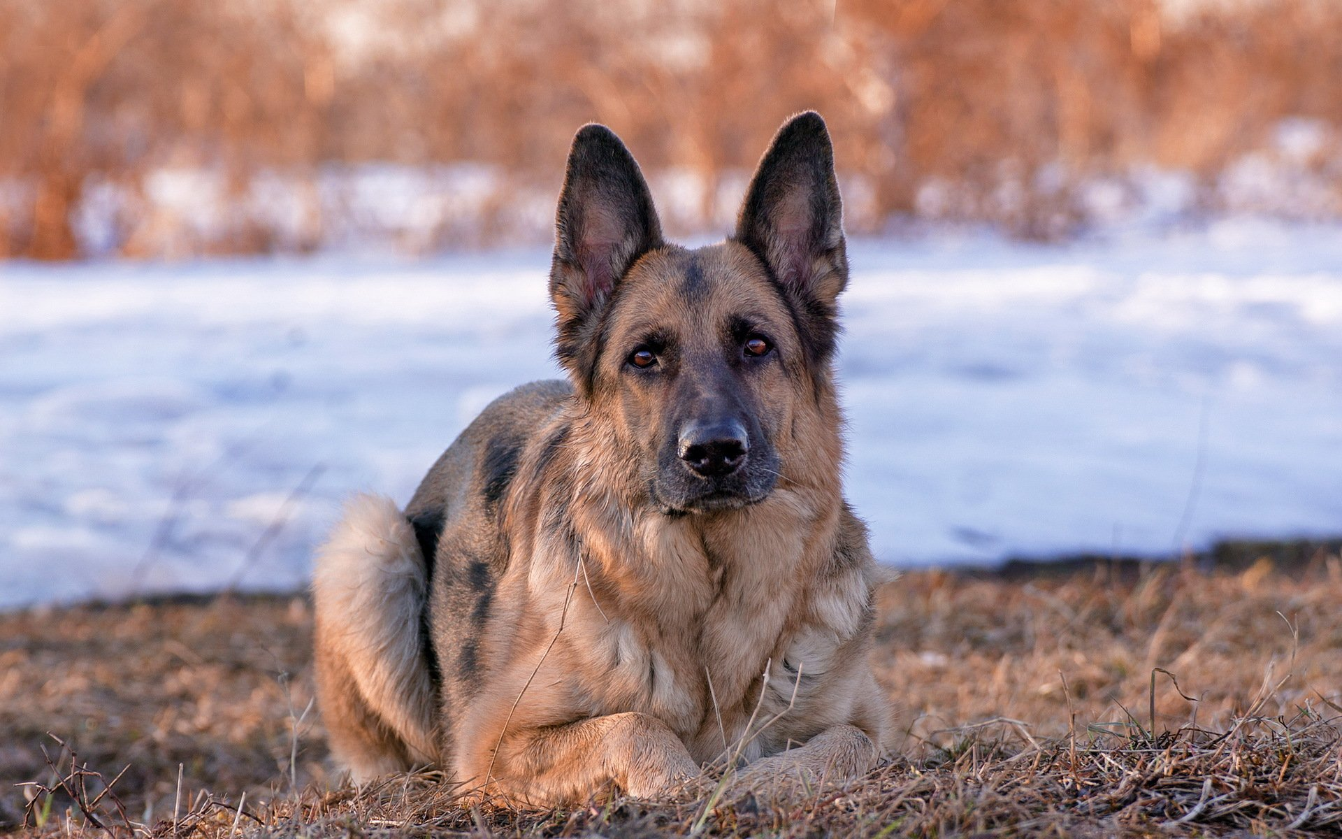 природа животные собака немецка овчарка nature animals dog the German shepherd  № 1004472 без смс