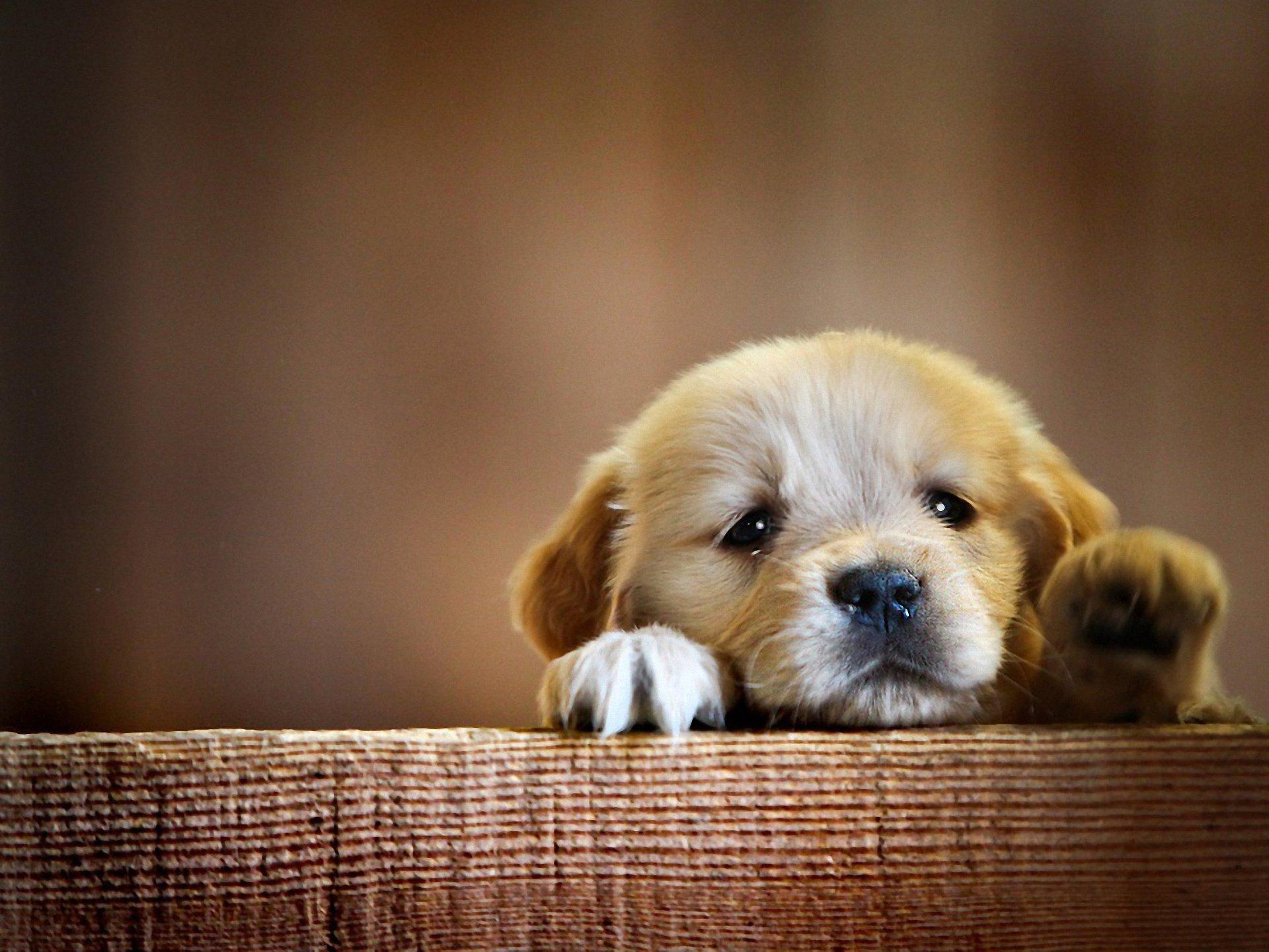 YorkipooYorkie PoodleYorkiepooPuppies for SaleIowa Lots of pictures of cute puppies
