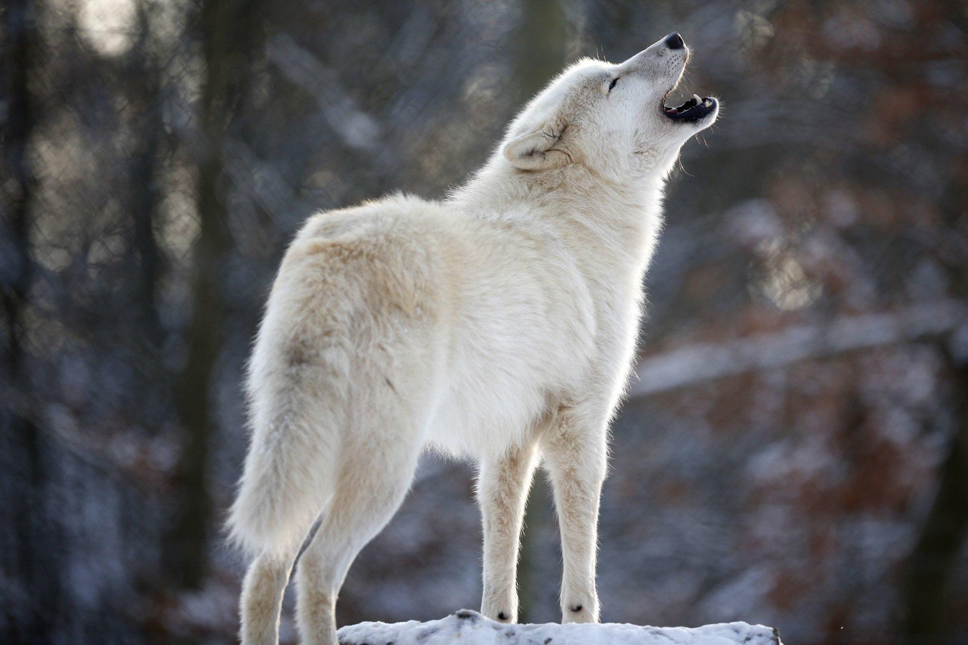 всем этой загрузить фото белого волка года изоляции две