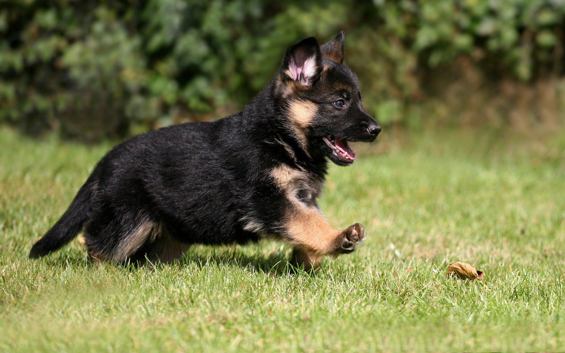 Картинки собак щенков овчарки