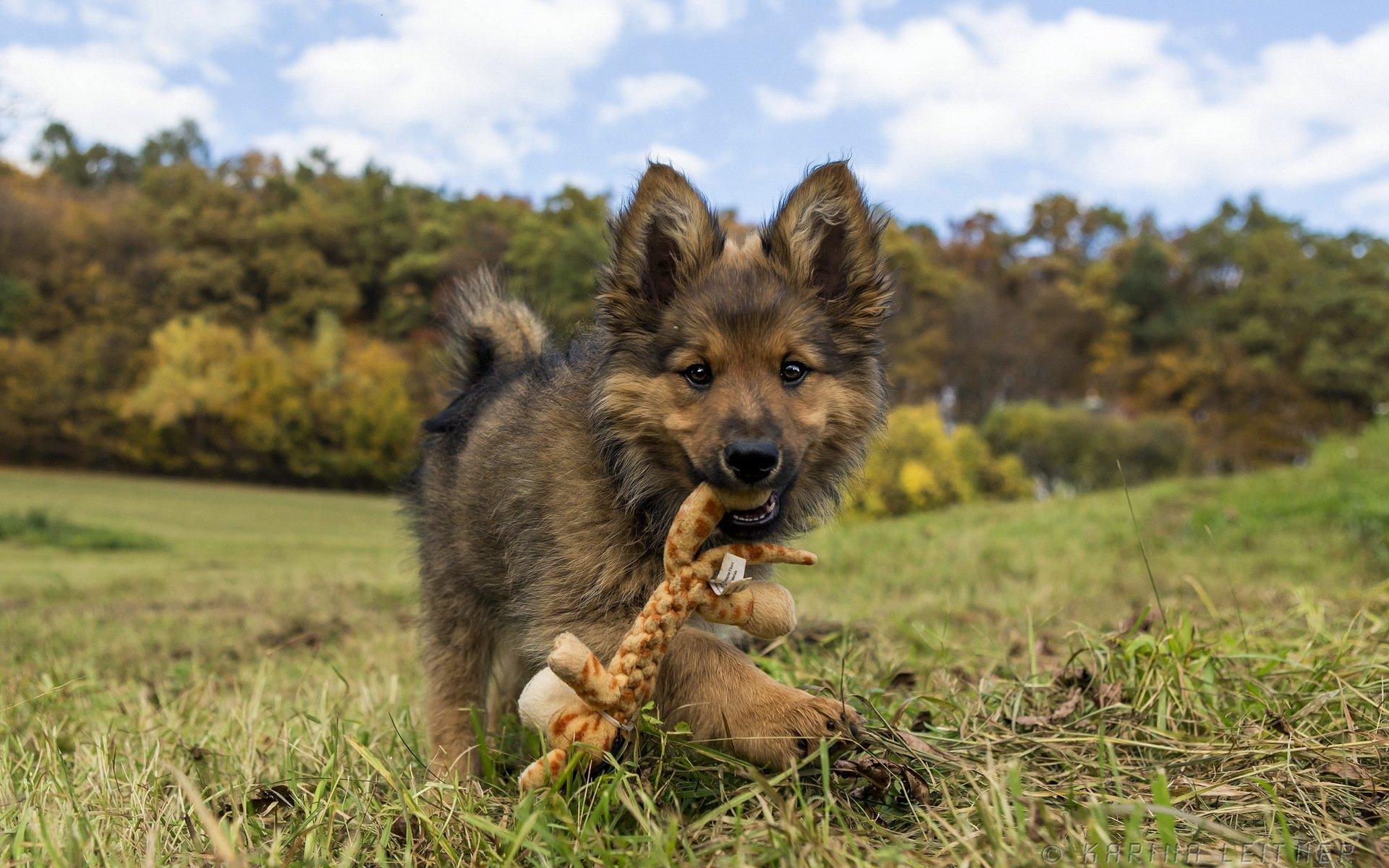 обои на рабочий животные собаки фото средний тону