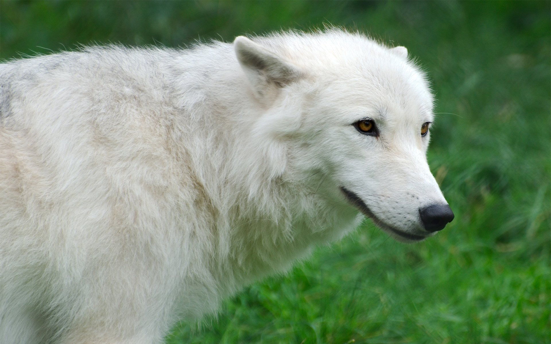 хореографа, картинки про белый волк форума станут депутаты
