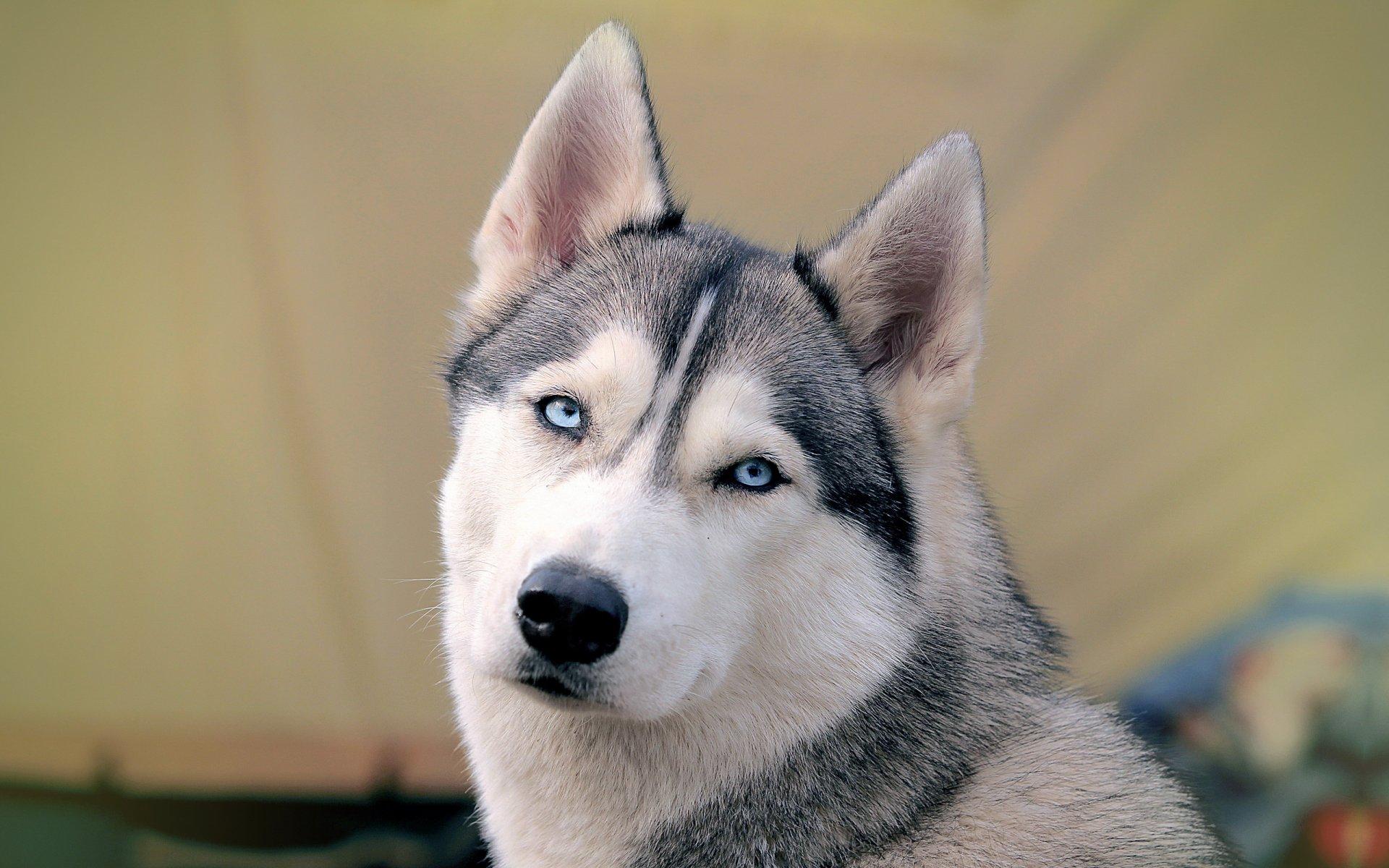 красивые картинок собак хаски