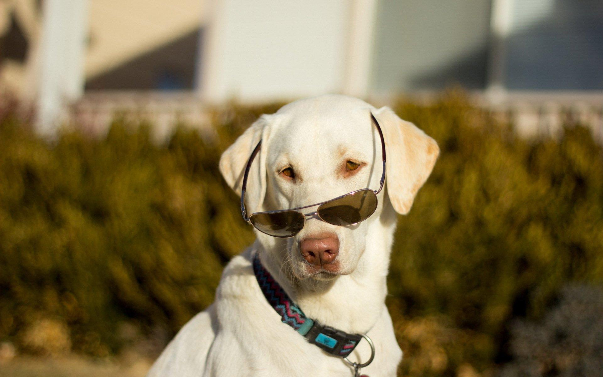 Картинки для рабочего стола собака в очках