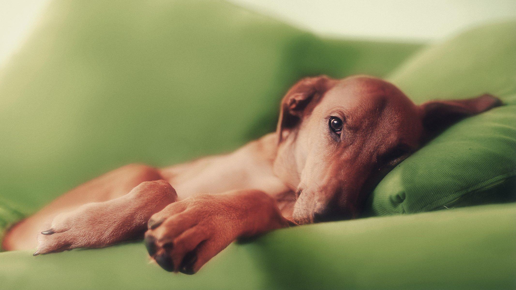 К чему снится собака лежит