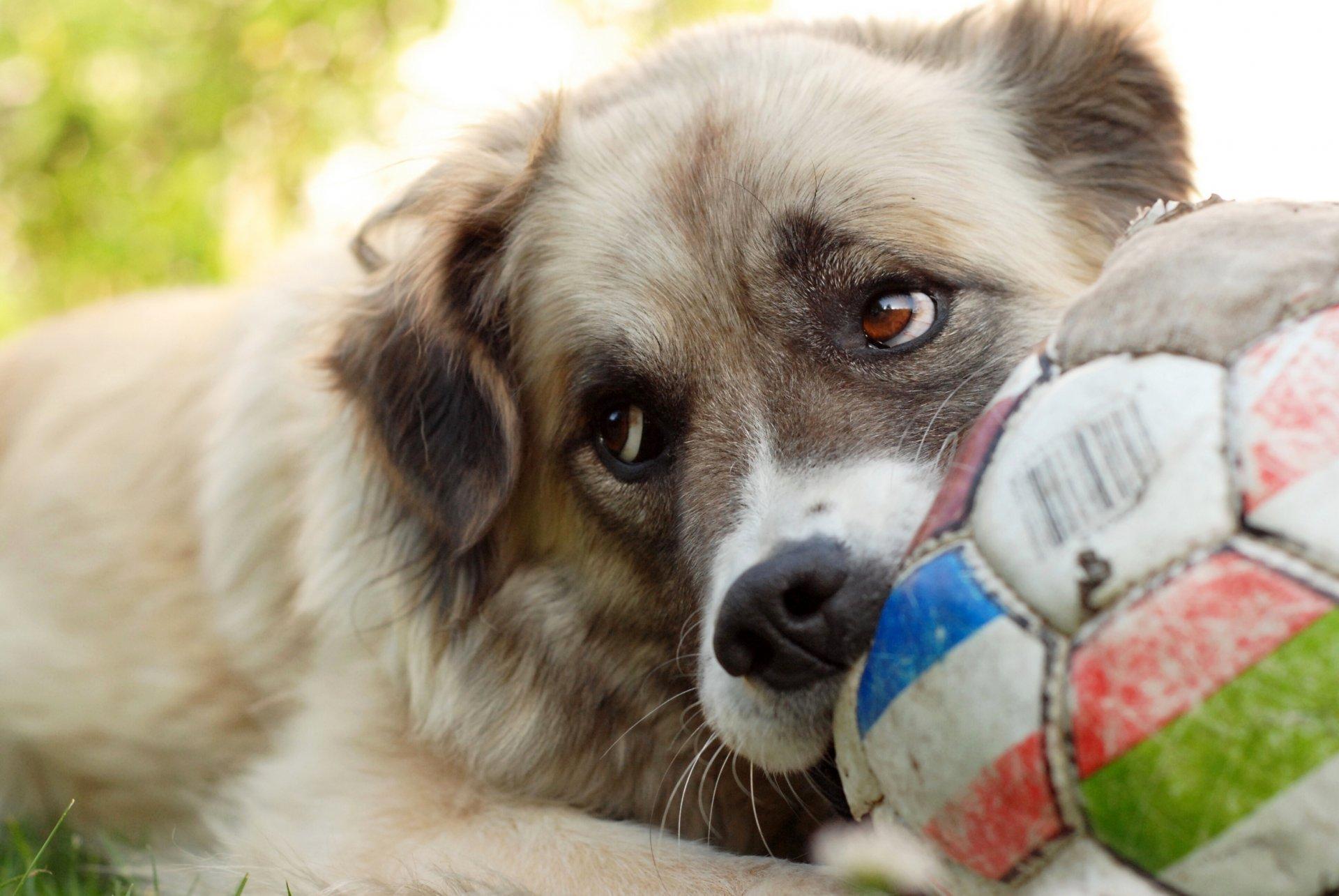 Обои Собака, мяч, друг. Собаки foto 15
