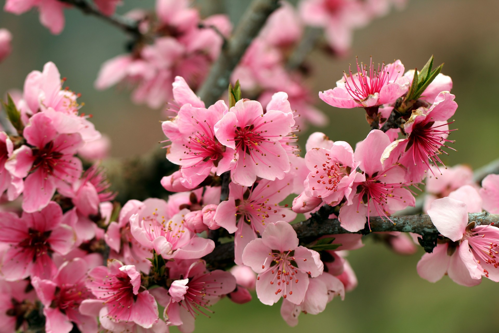 Flowering apple tree pictures