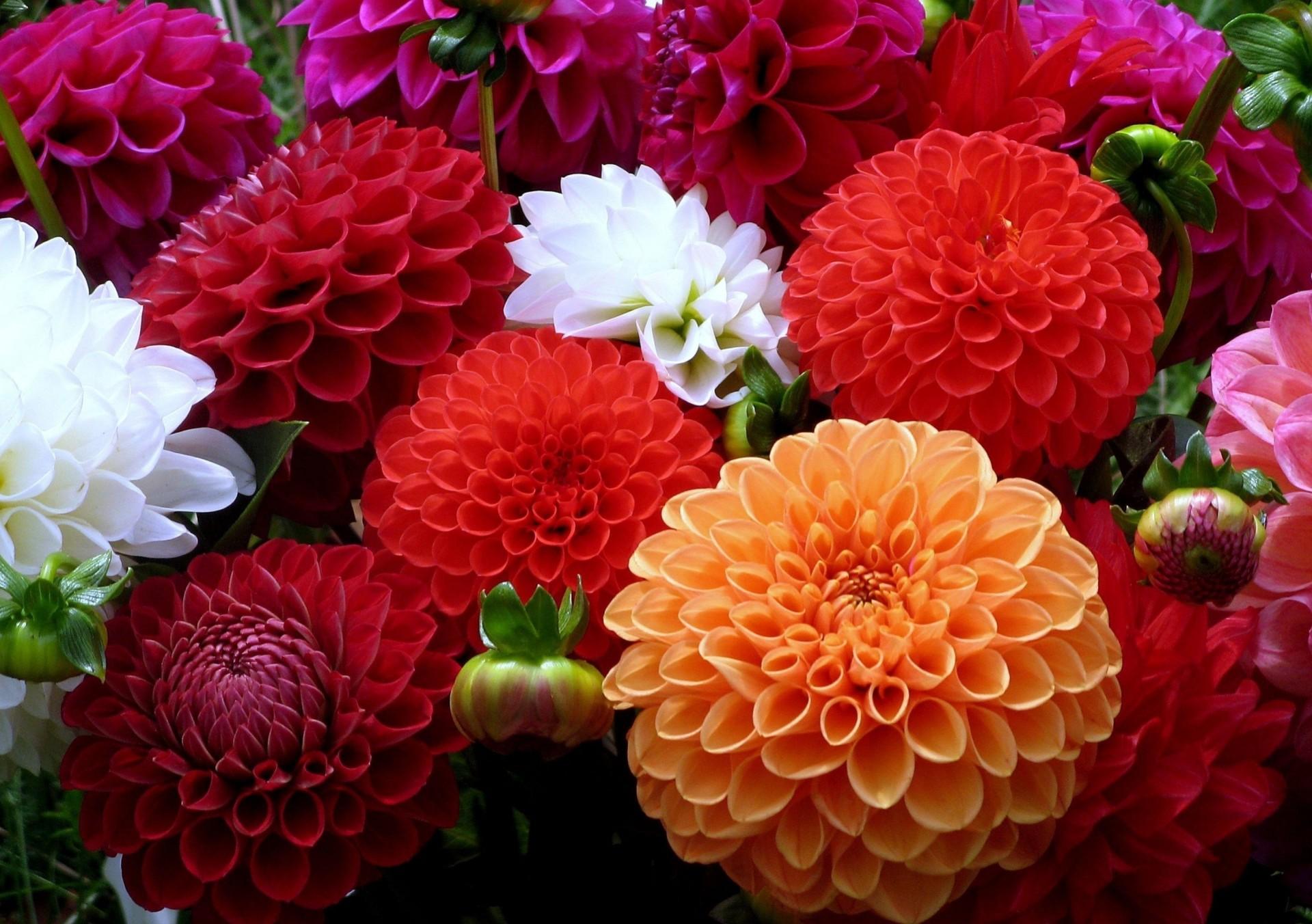 Обои стебель, цветок, оранжевая, Георгина, цветы. Цветы foto 13