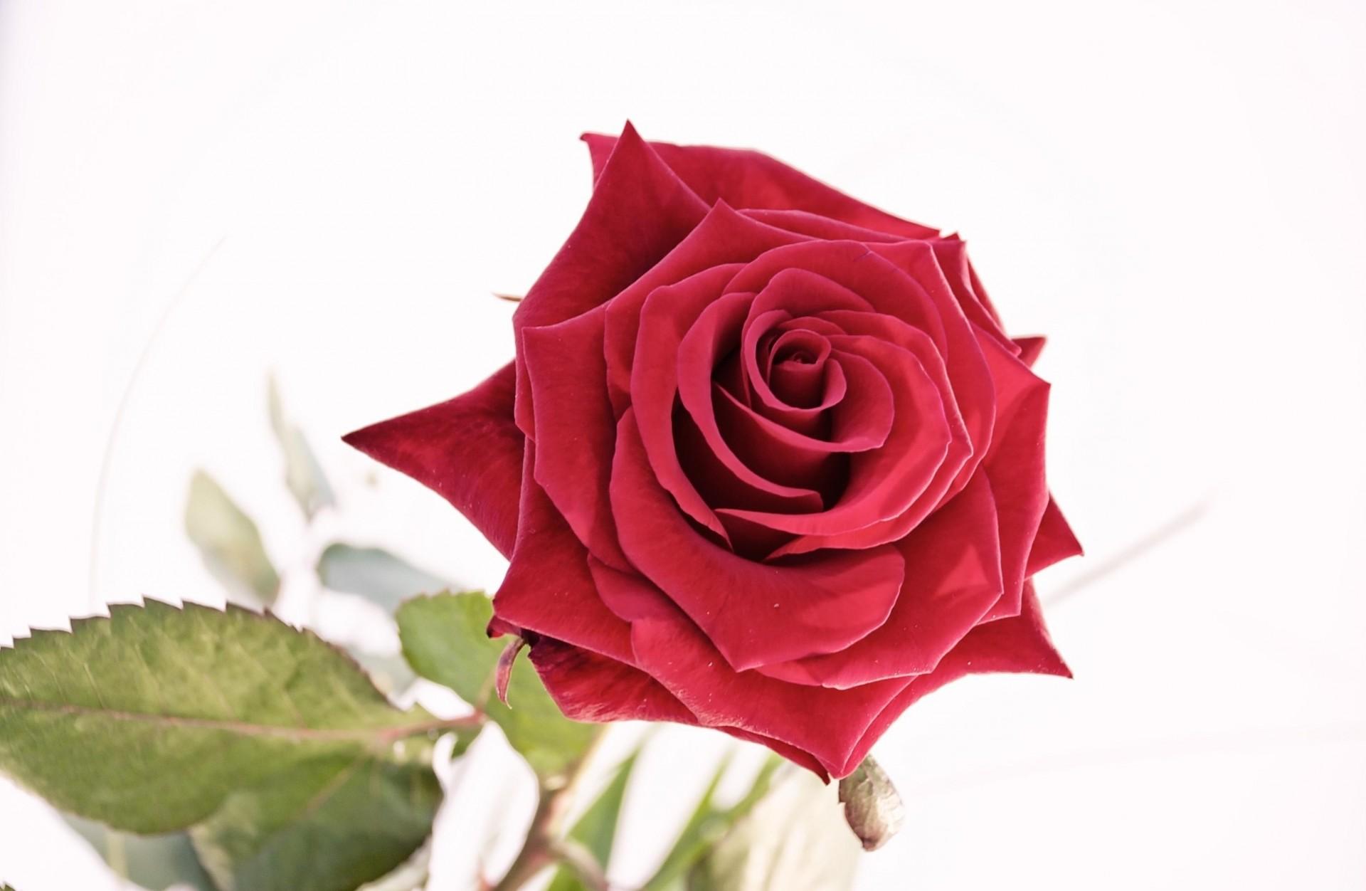 фото одной красной розы на белом фоне изготовлении