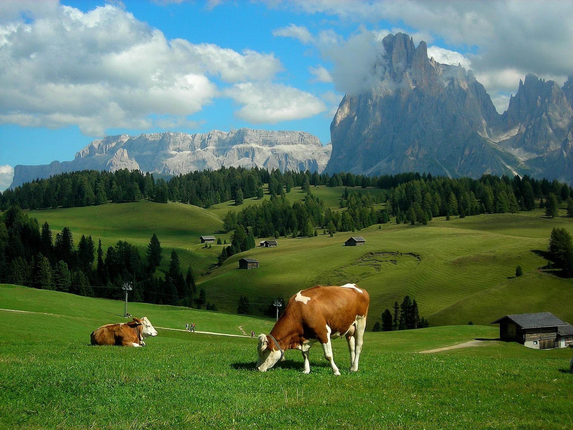 Коровы в картинках на природе