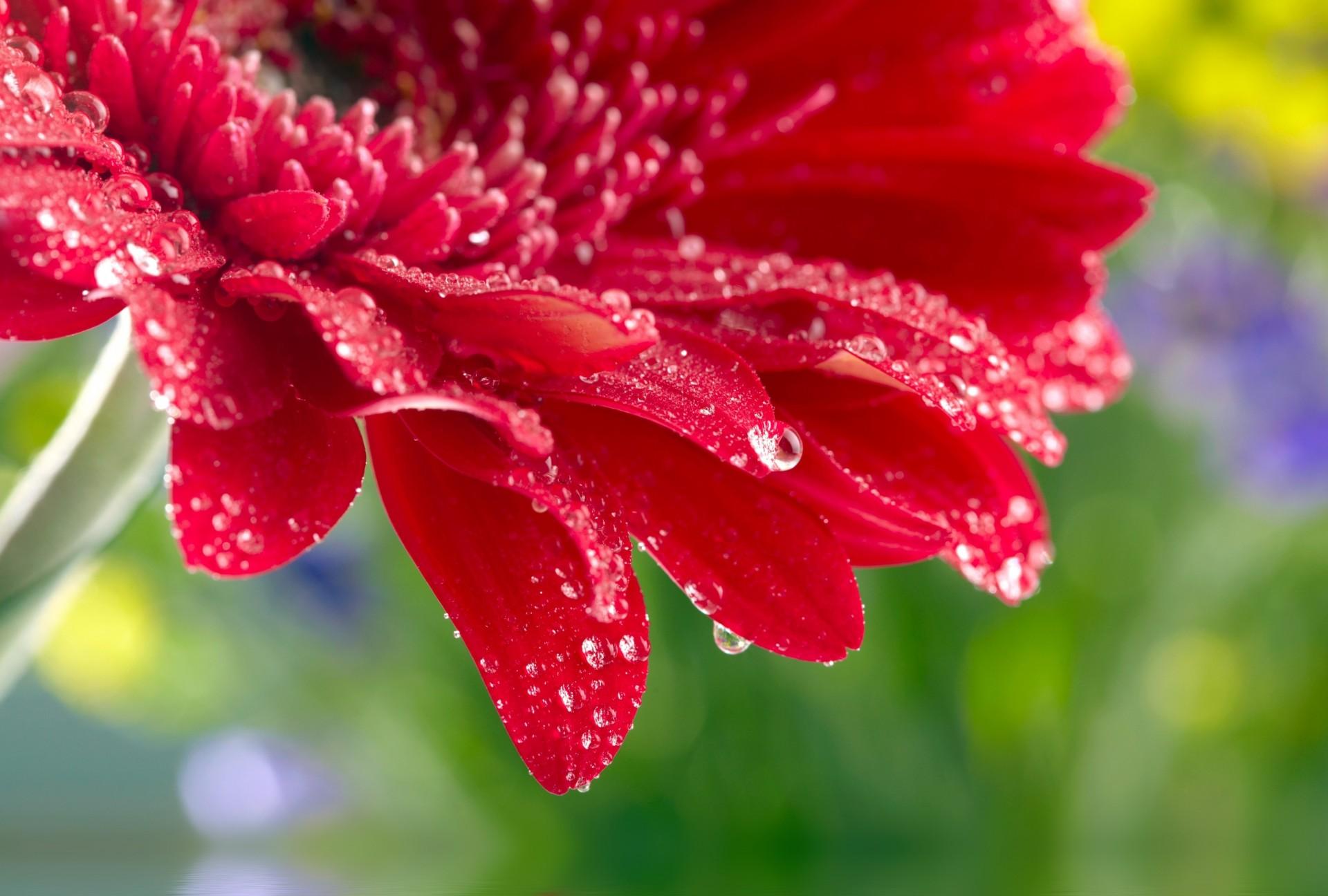 Картинка красный цветок большой