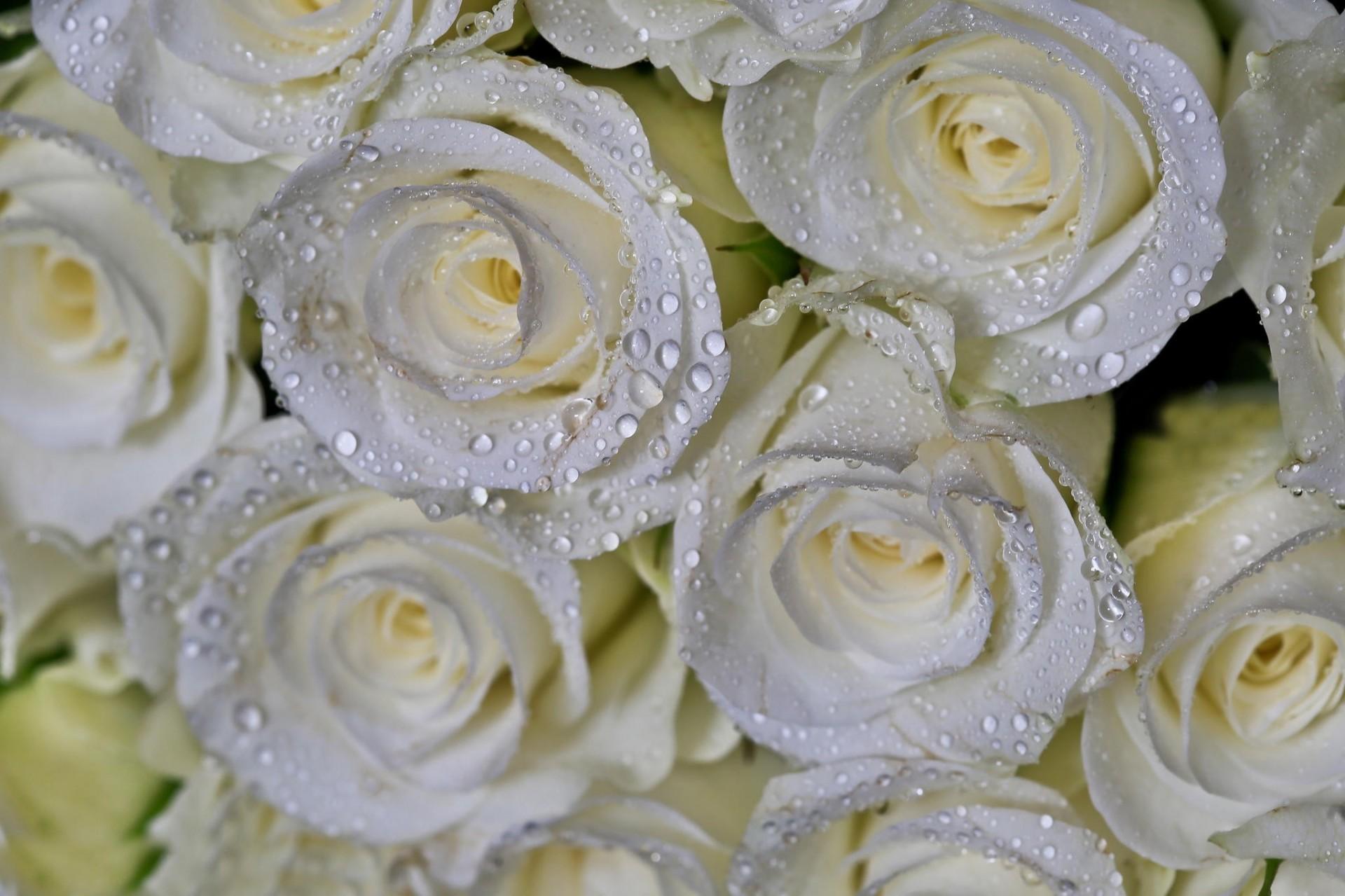 именно фото на тему шикарные белые розы это