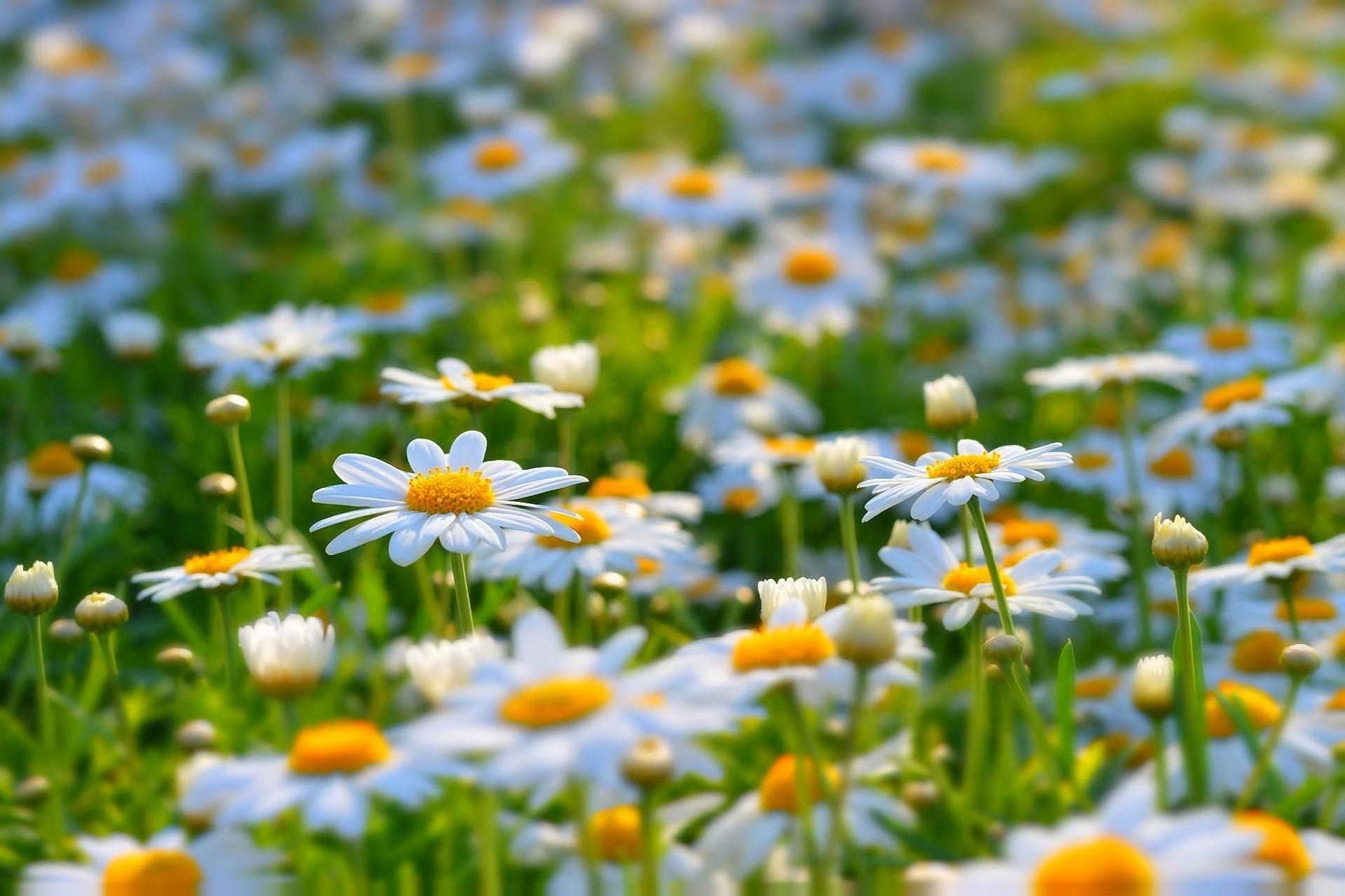 ромашки поле цветы chamomile field flowers без смс