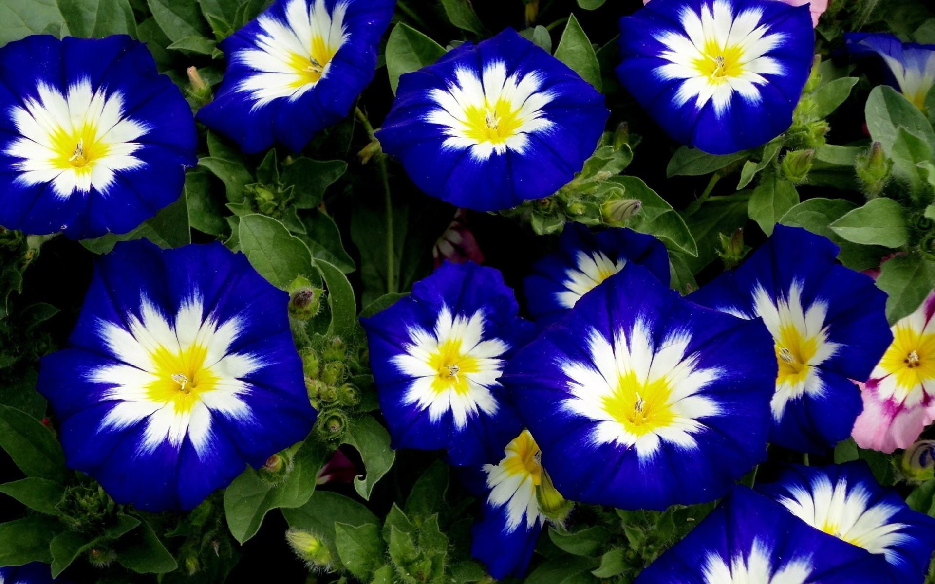 42 растения с синими цветками Дизайн участка (Огород. ru) 10
