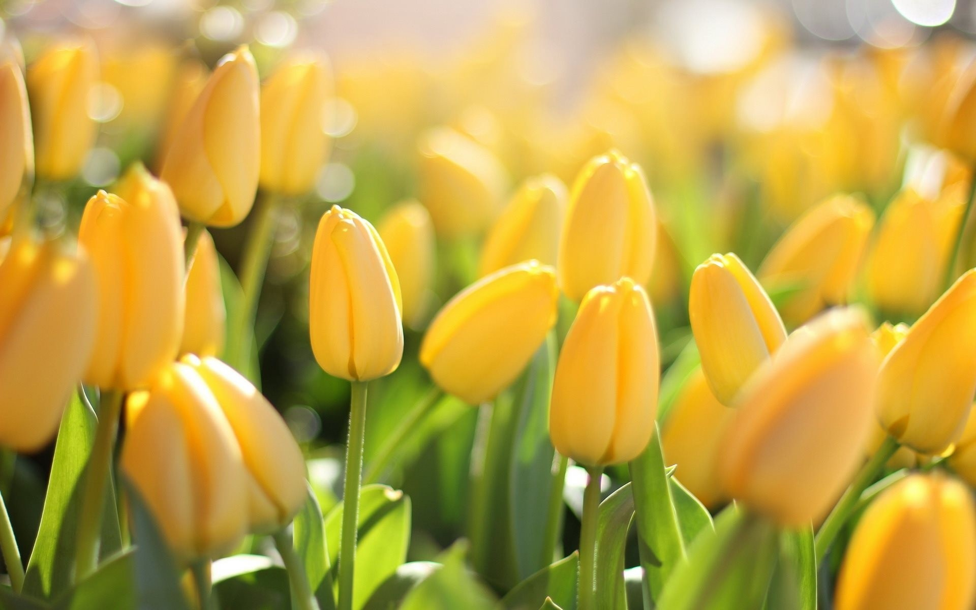 поляна из желтых тюльпанов бесплатно