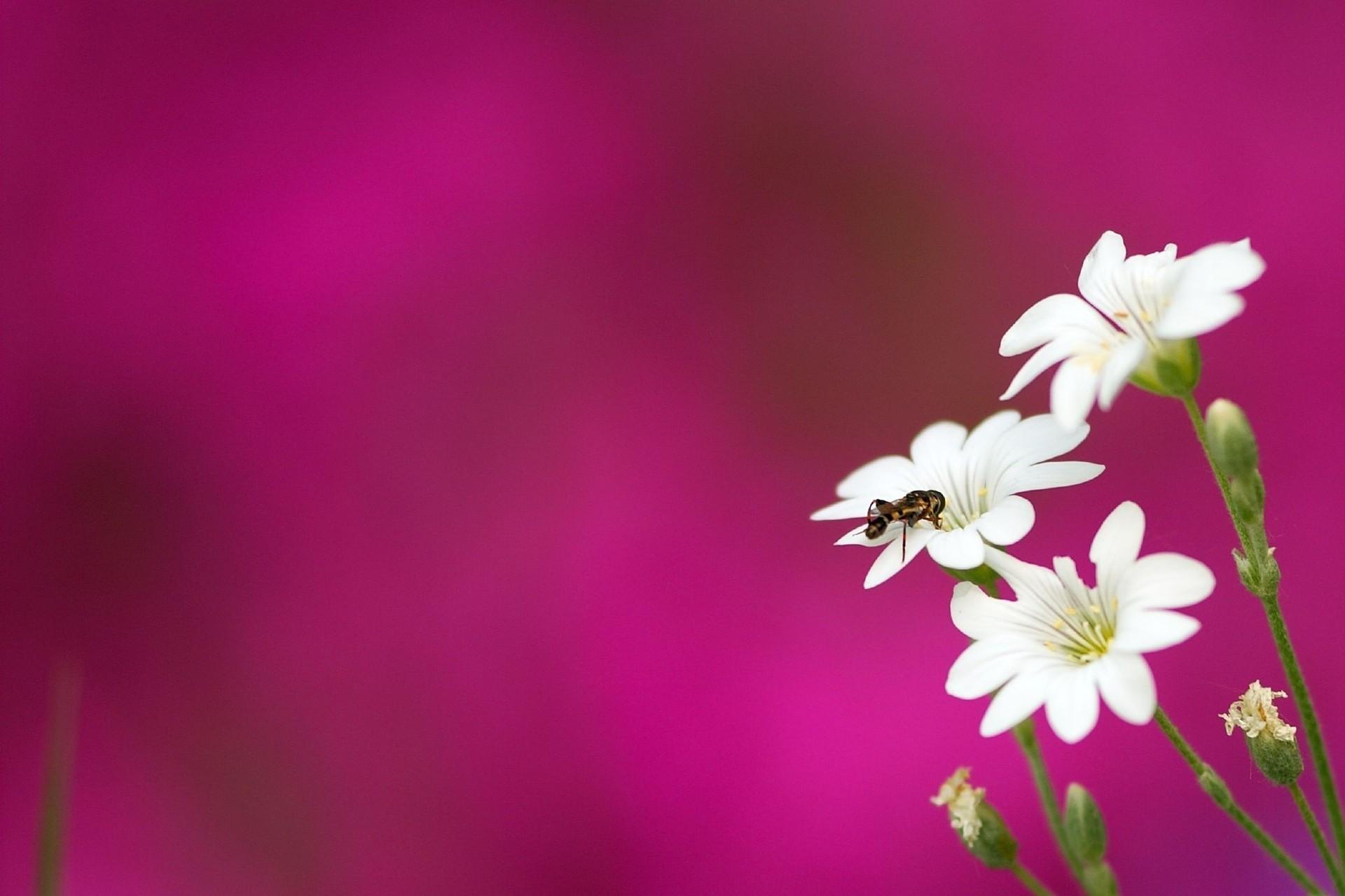 пчела цветы розовые flowers pink bee  № 910833 без смс