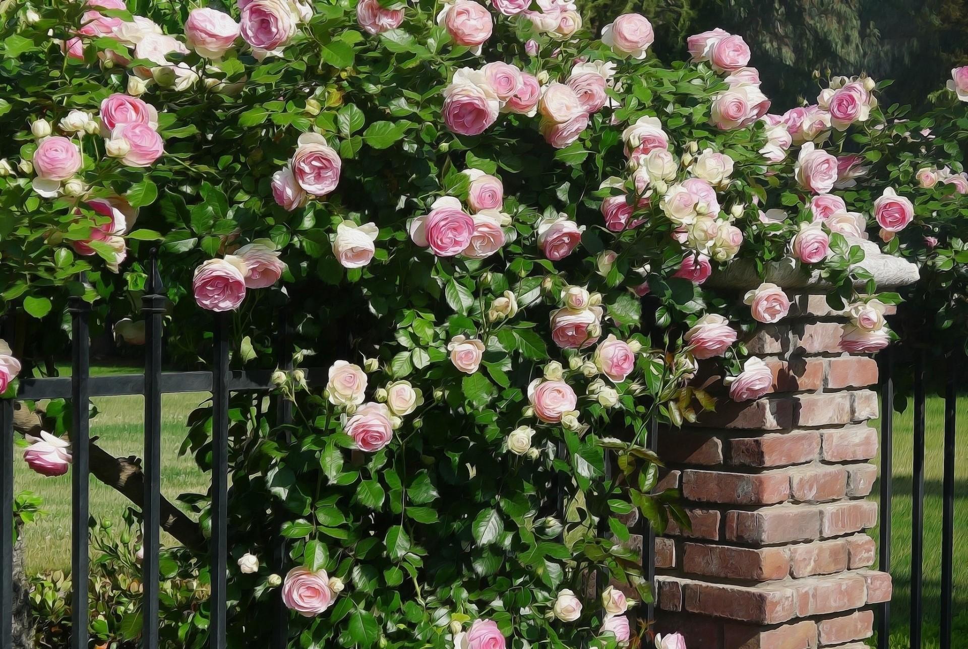 это кусты роз названия и фото очень устойчивый, четыре
