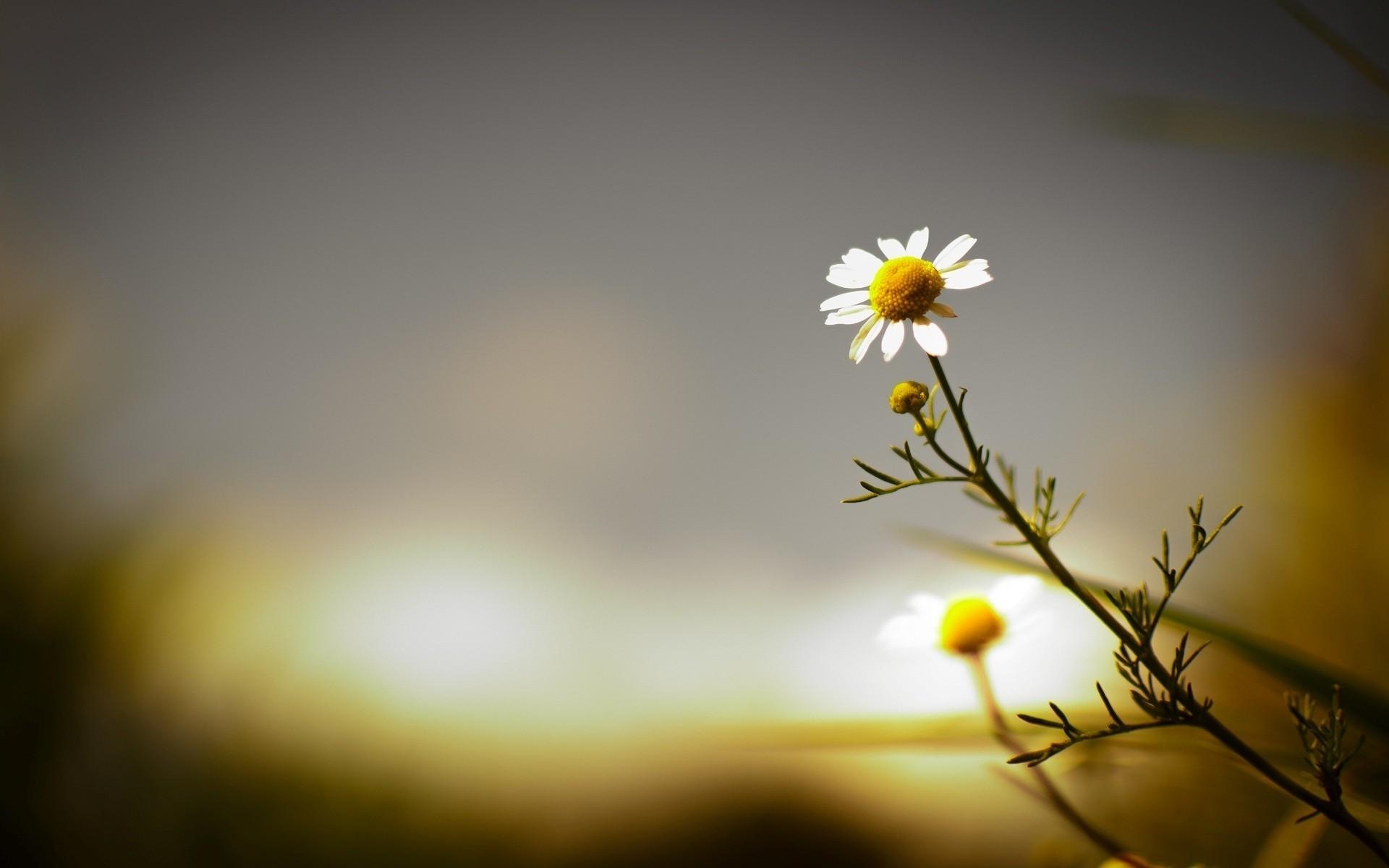 цветы ромашки блики без смс