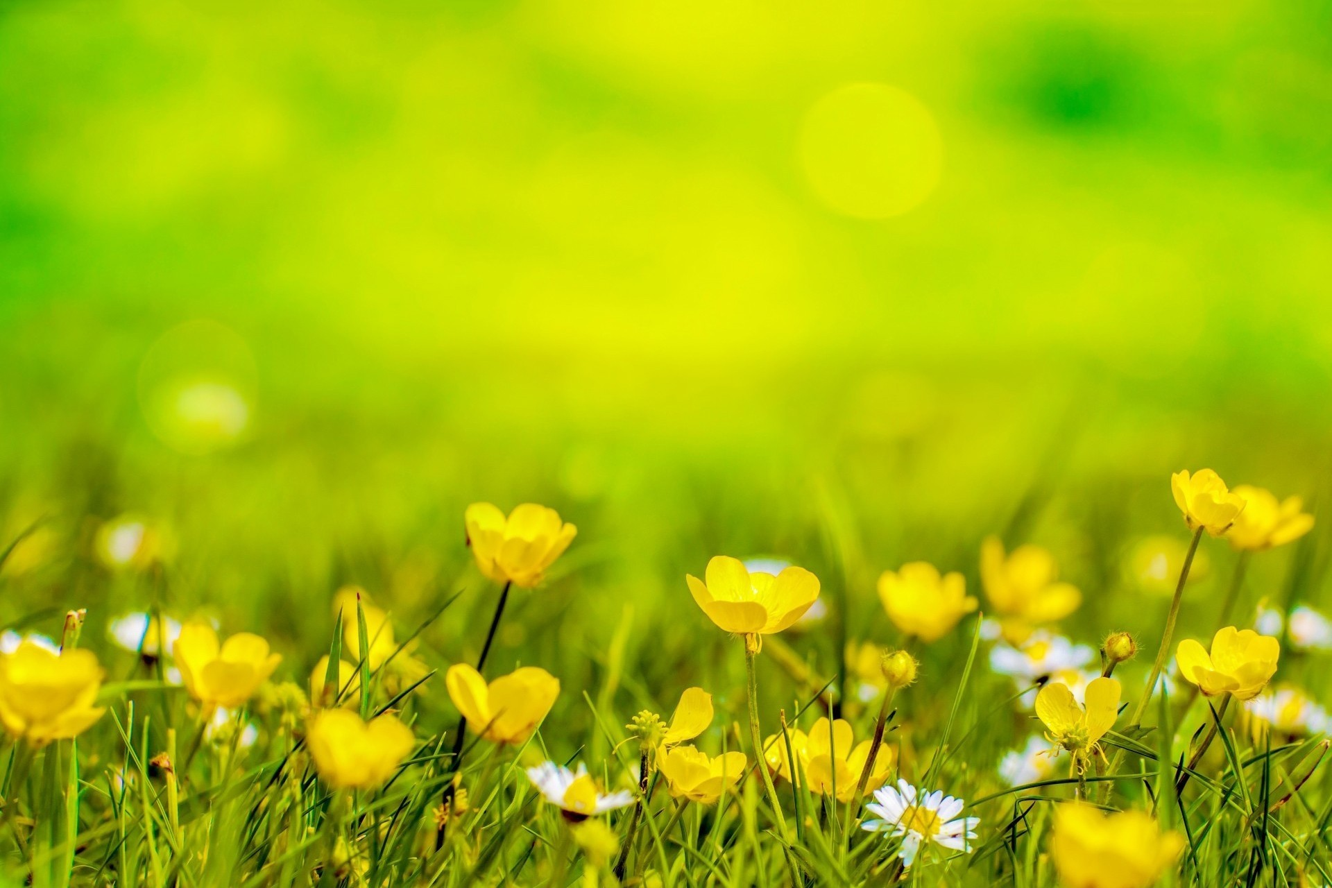 Желтые ромашки цветы желтые цветы размытость  № 3831083 бесплатно