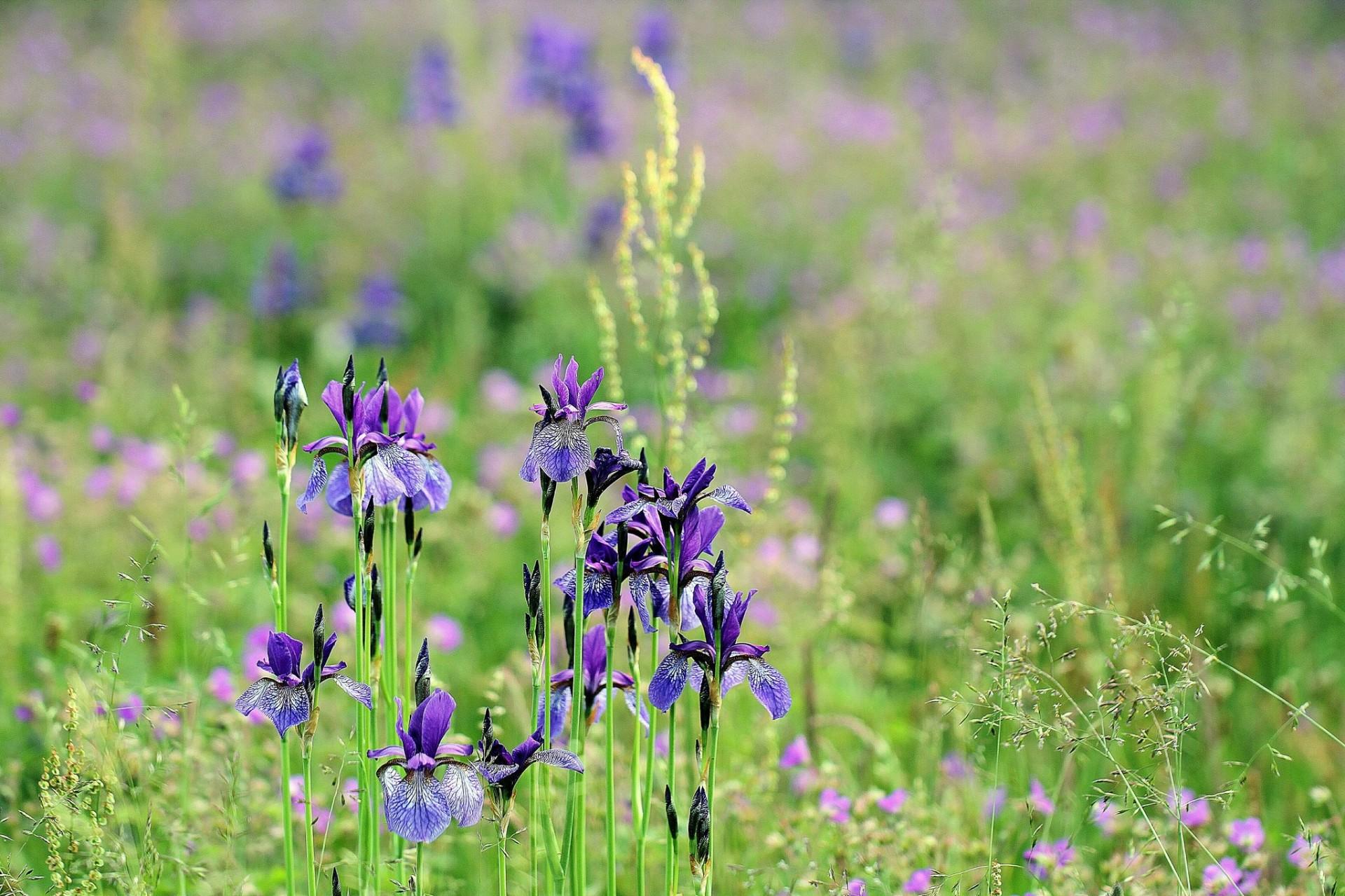 шмель,ирис,цветок,лето  № 529603 без смс