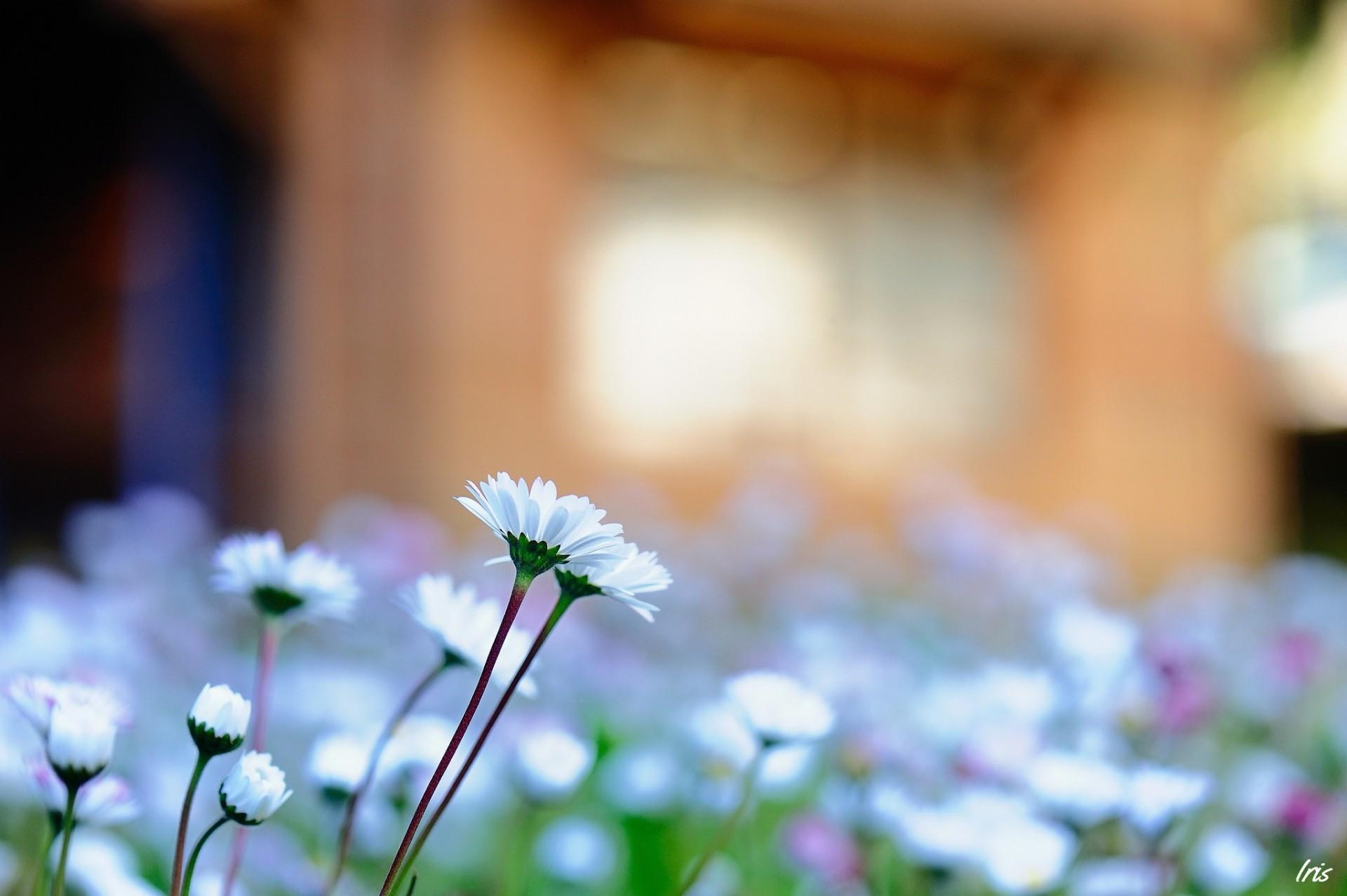 ромашка цветы фокус  № 1096355  скачать