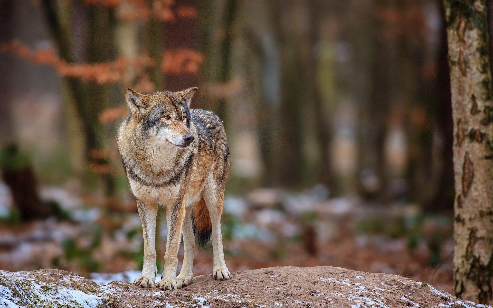 осенний лес картинки с волками россию