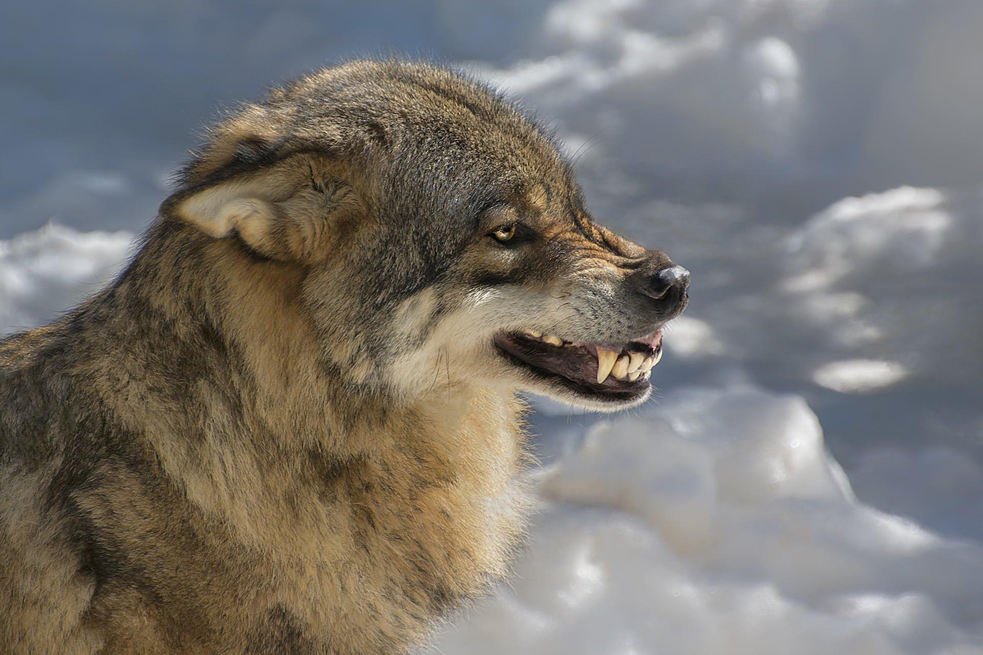 волк зве�� о�кал hd обои для но��б�ка