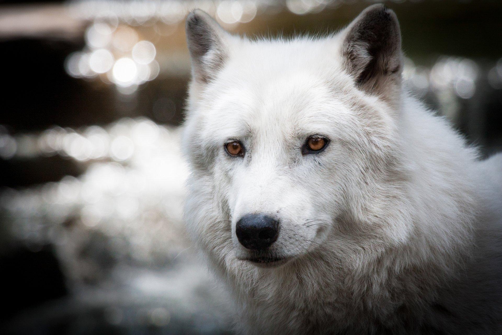 загрузить фото белого волка чего восстанавливают сосудистую