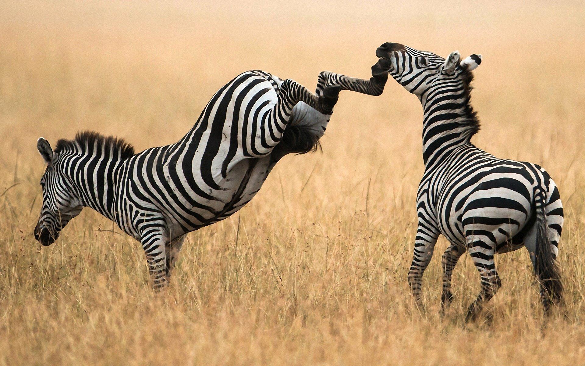 Зебры в поле без смс