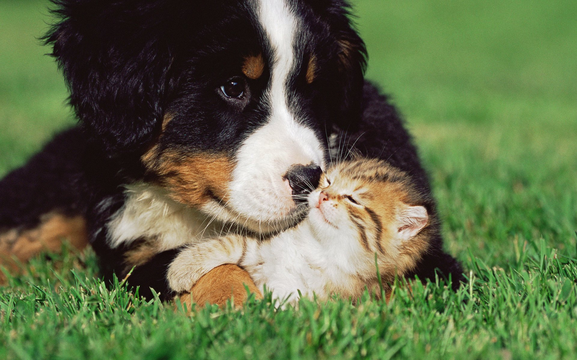 Картинка большая собака и котенок