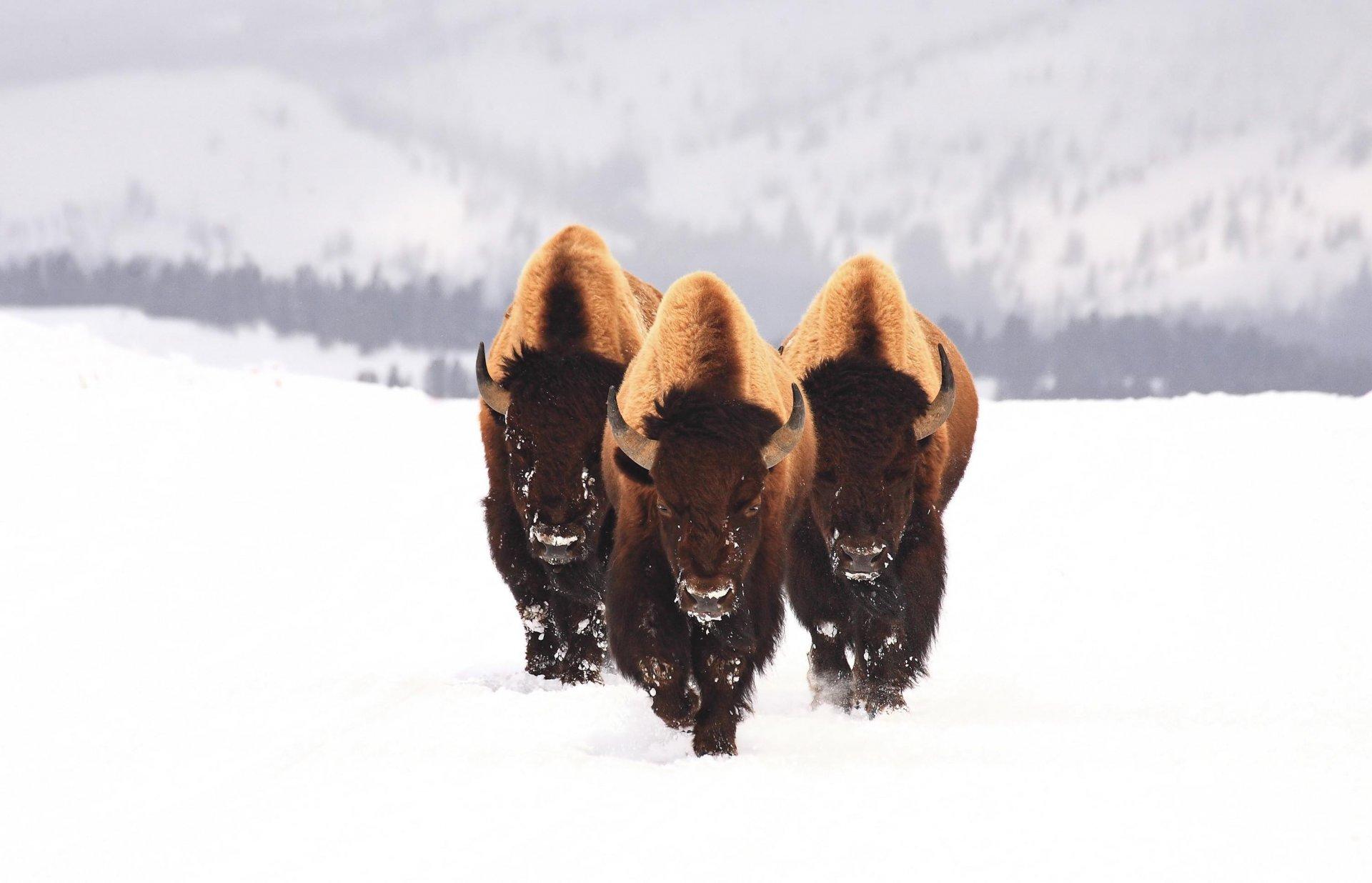 Картинки полярные животные зимой на рабочий стол