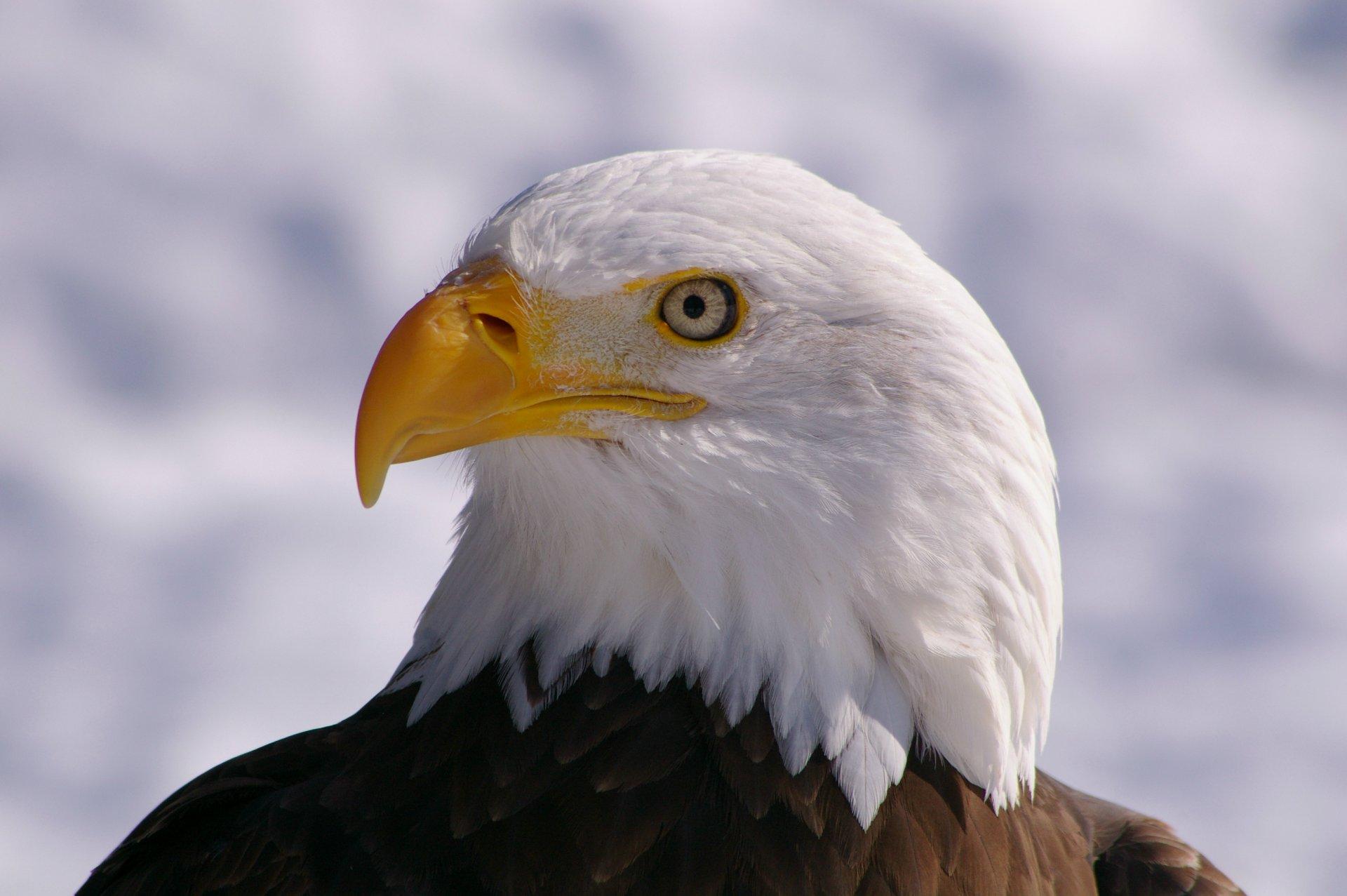 картинка орел который есть