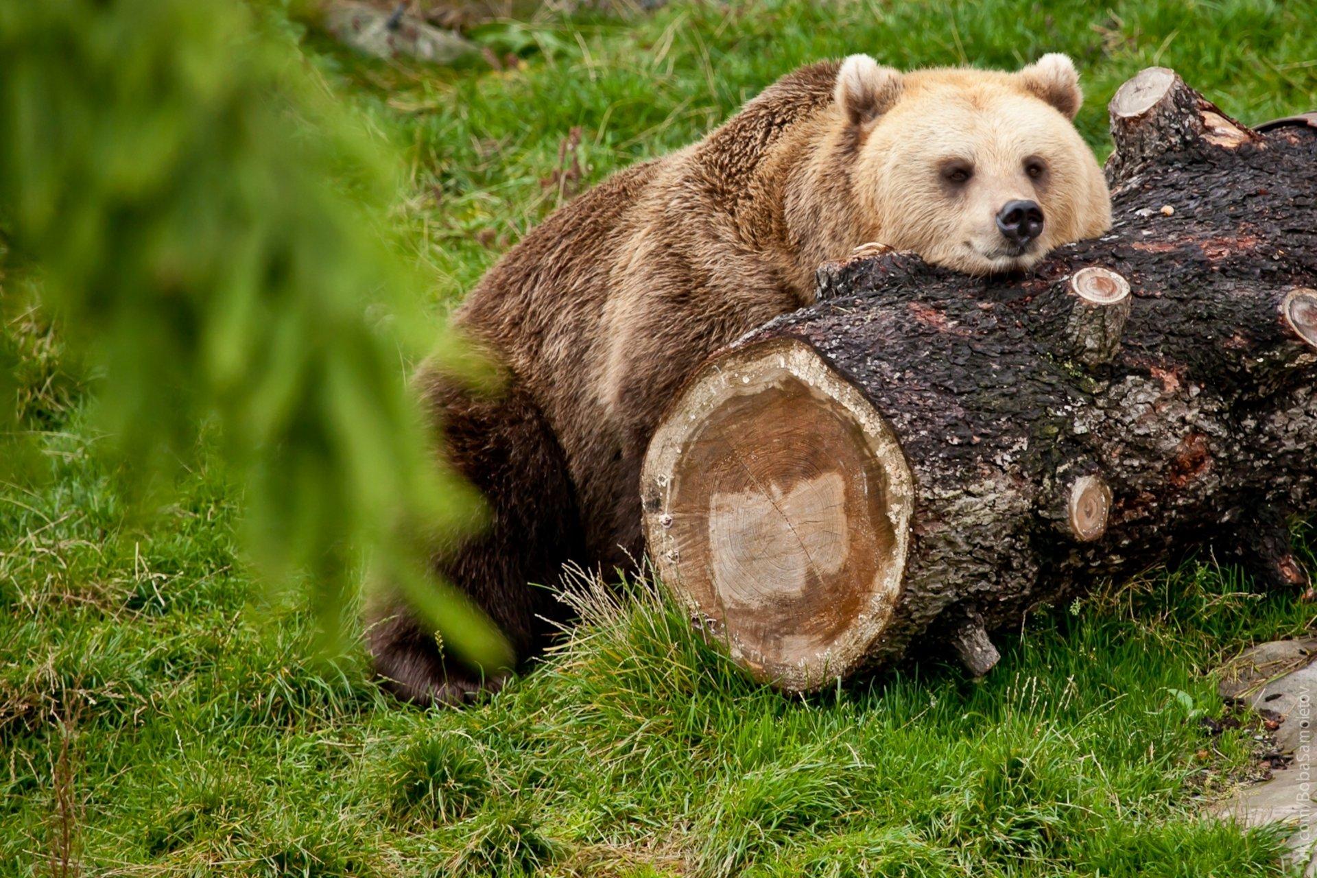 Картинка медведь обои
