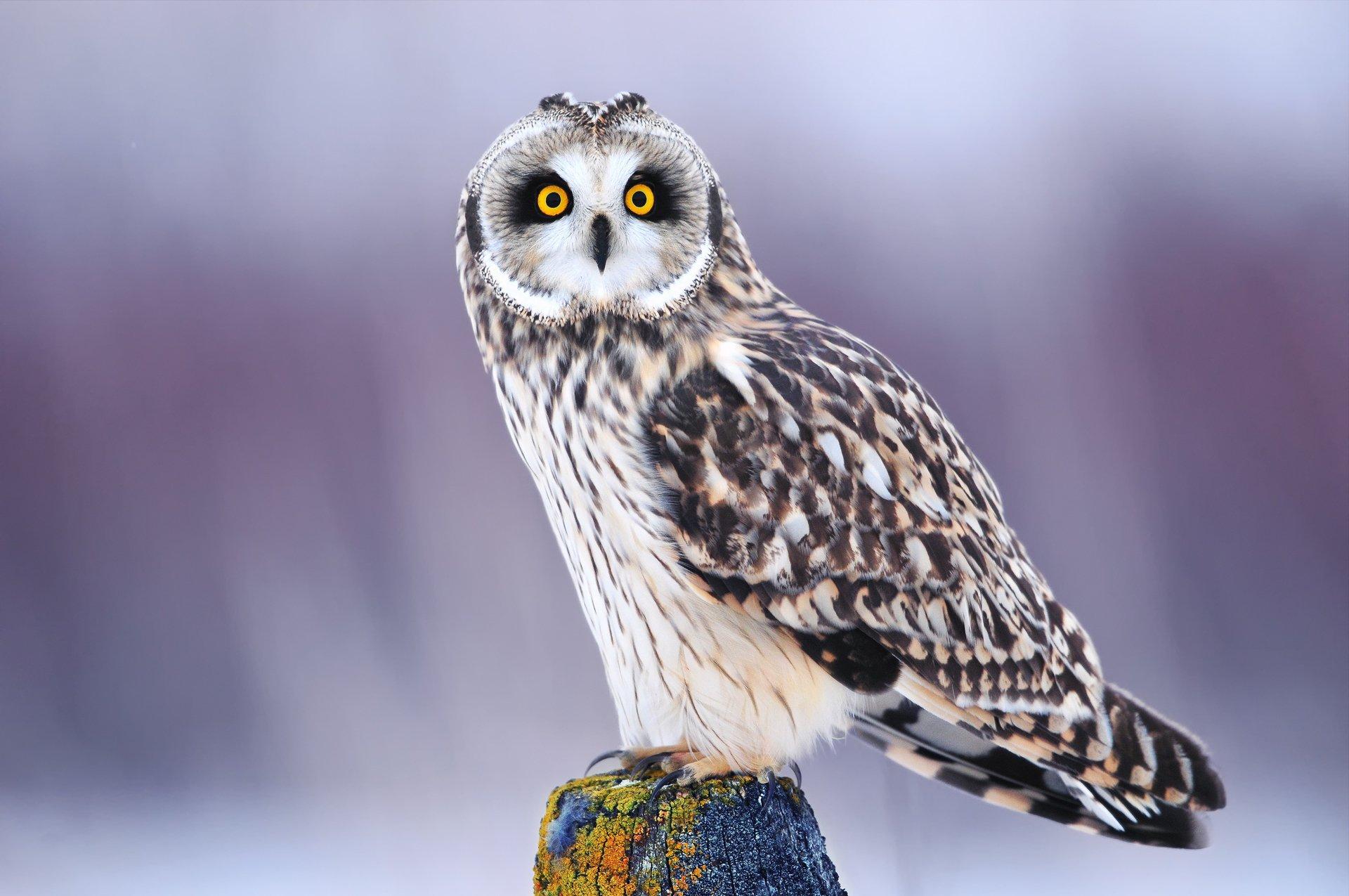 пестрая сова с желтыми глазами без смс
