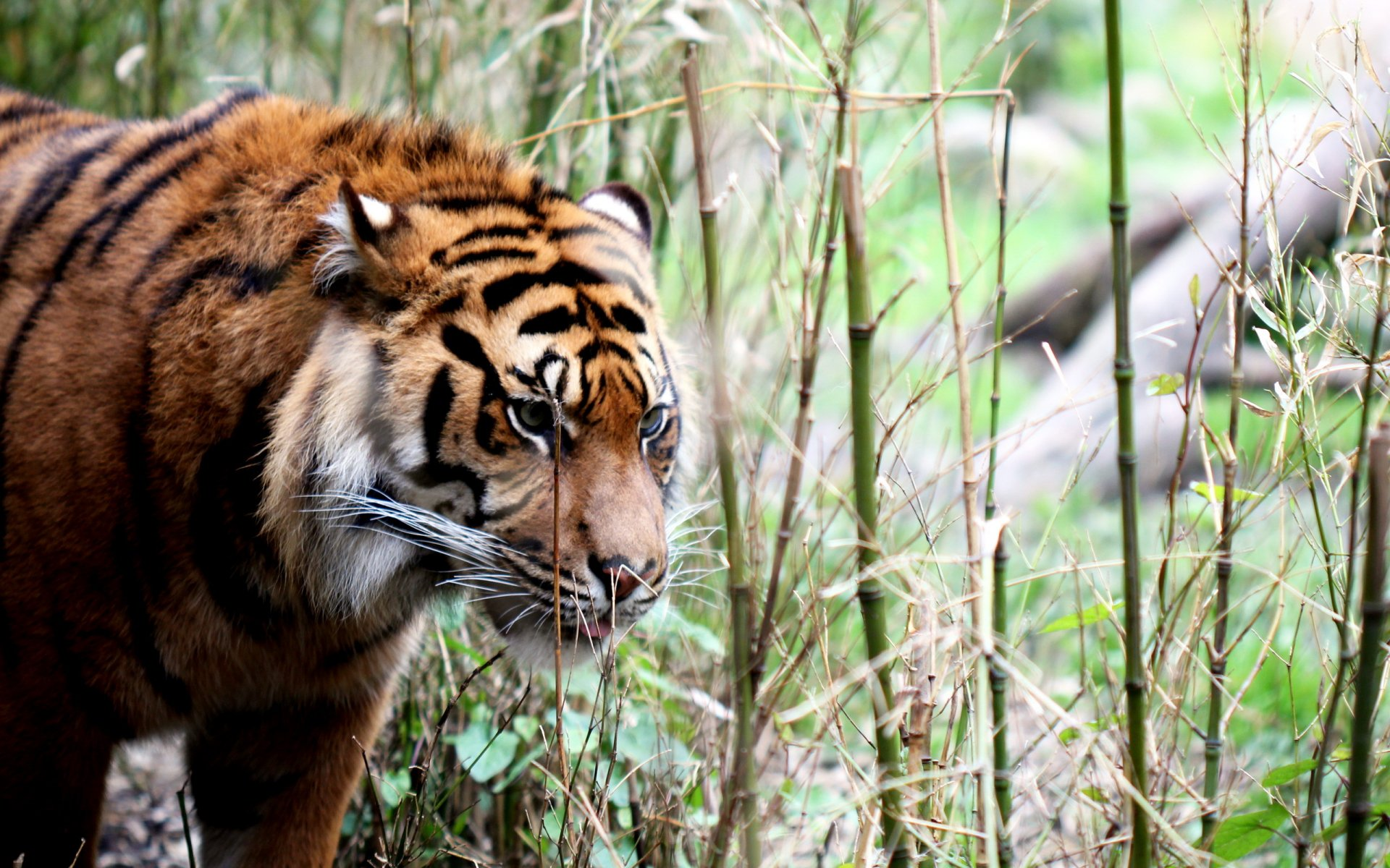 тигры трава природа скачать