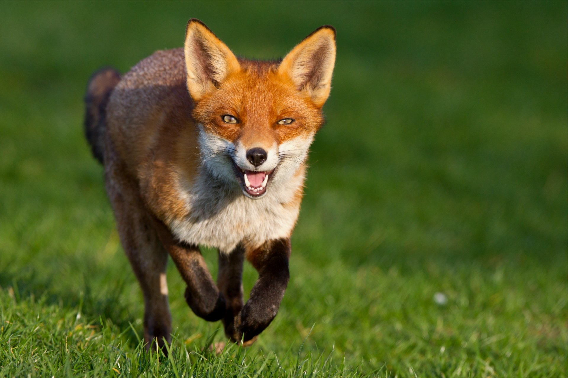 Картинка на лисица