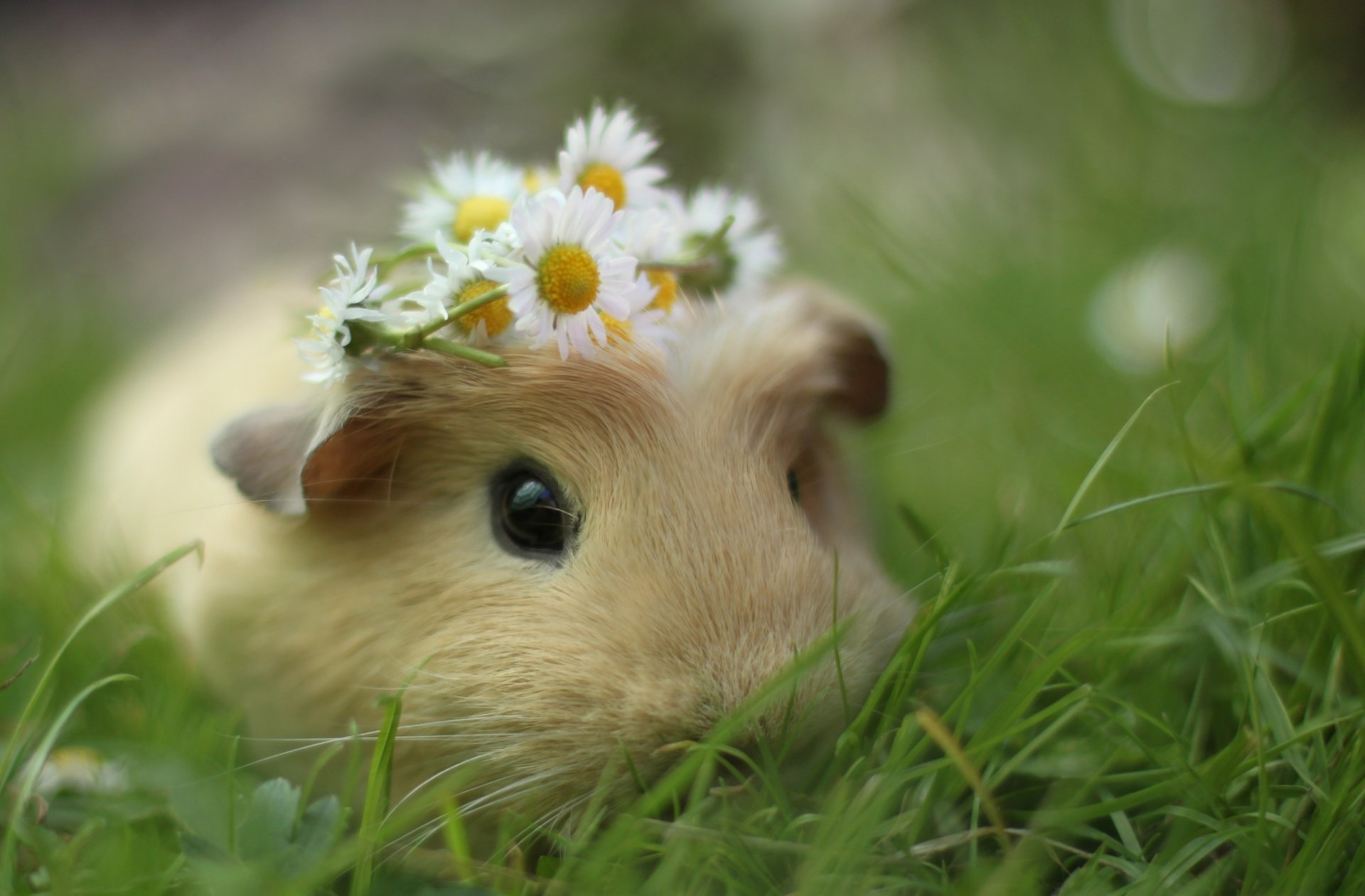 Cute funny guinea pig pictures Anthony Weiner - Wikipedia