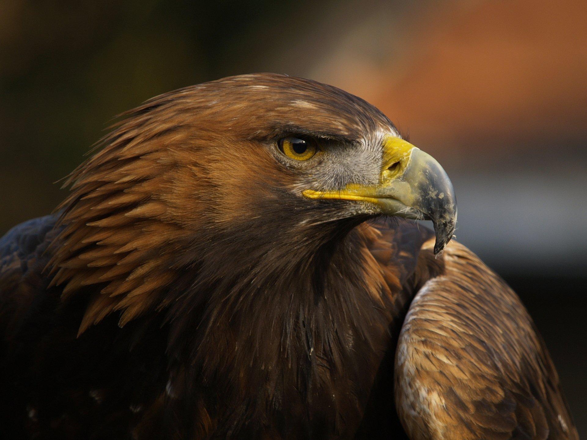 орел фотографии птица отлично зимует имеет
