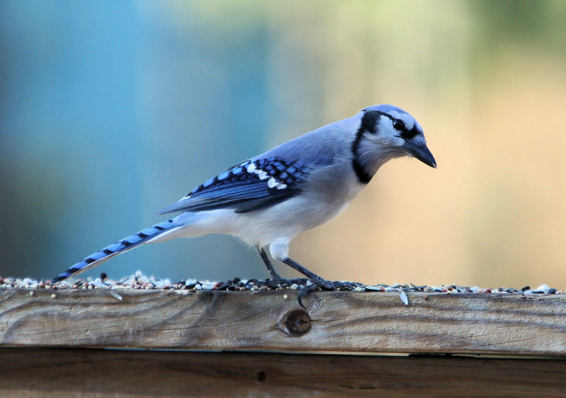ACTION Photos of blue jays birds