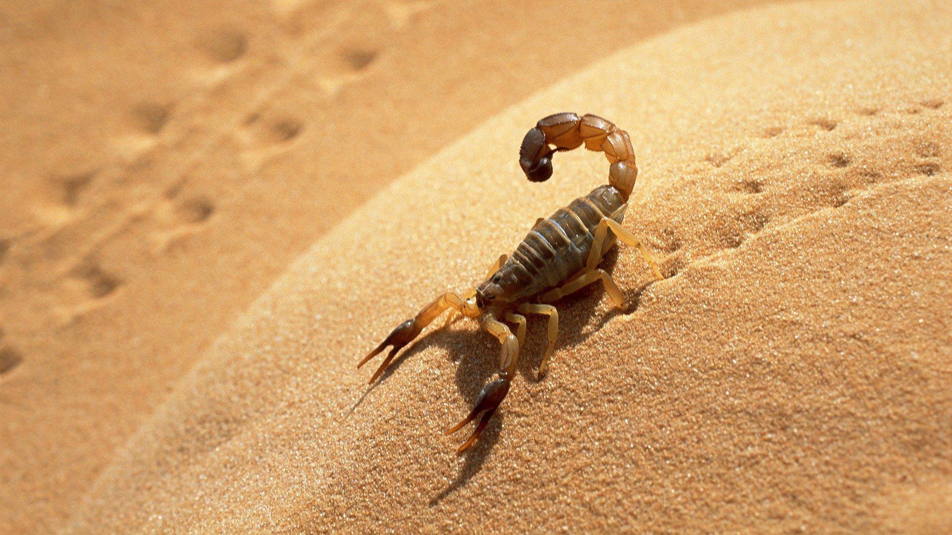 самое фотографии скорпион лучшие обои внутреннего заполнения