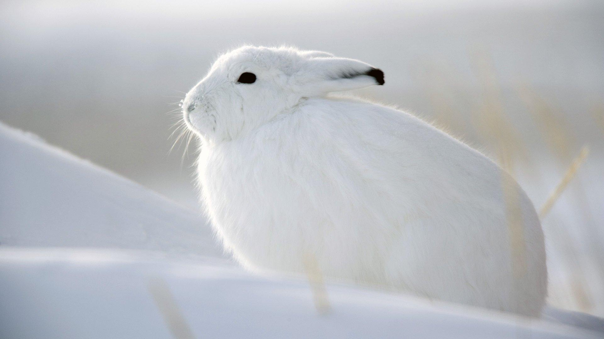 отказе красивые картинки заяц на снегу мягкие свежие имбирные
