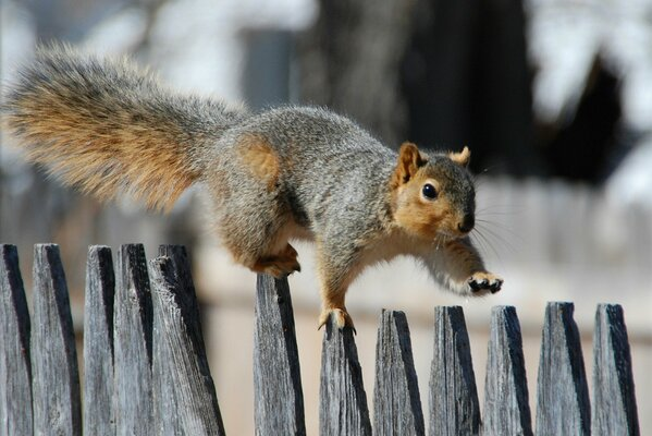 Белка забор прогулка squirrel fence promenade