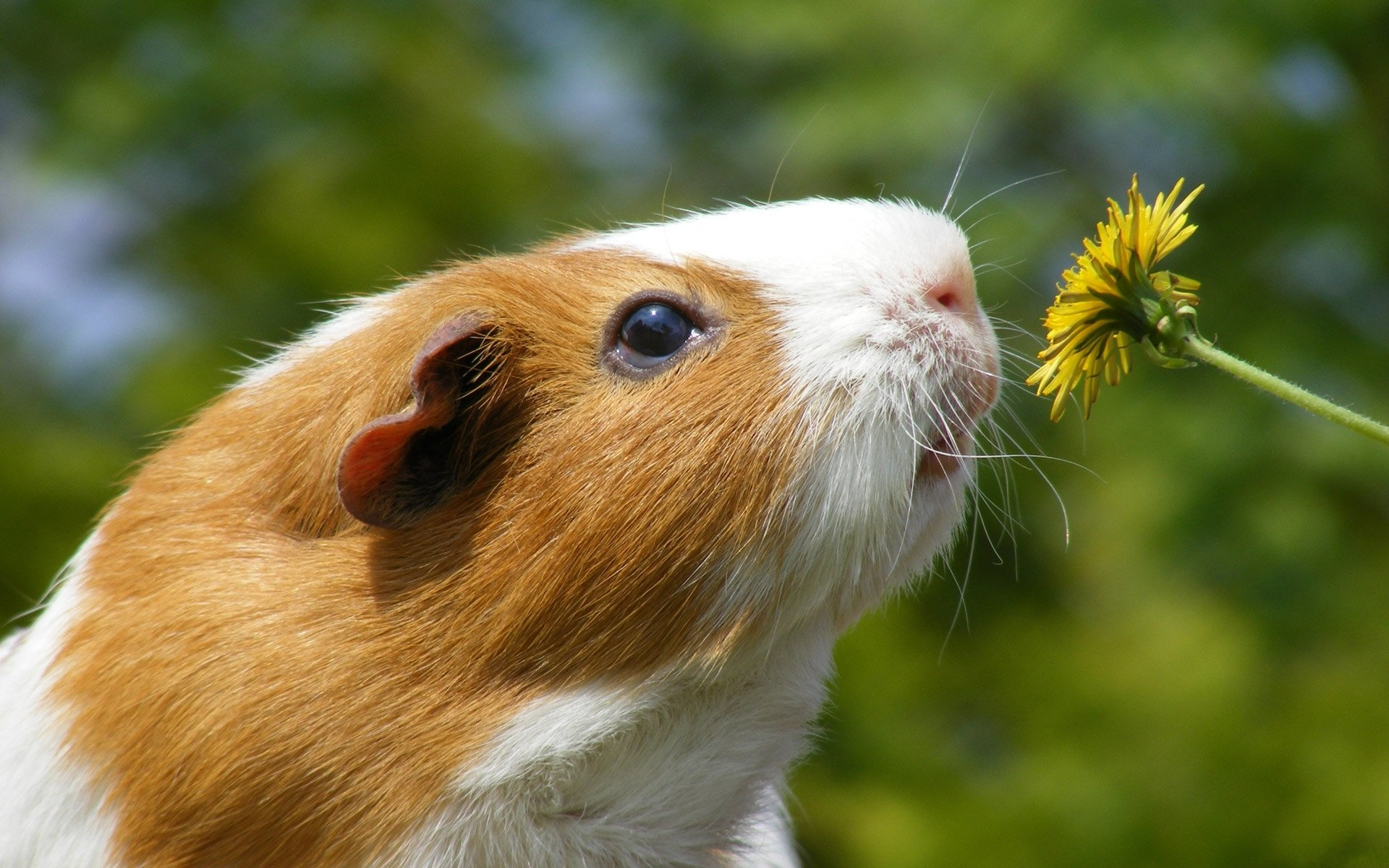 Cute funny guinea pig pictures 70 Brightest