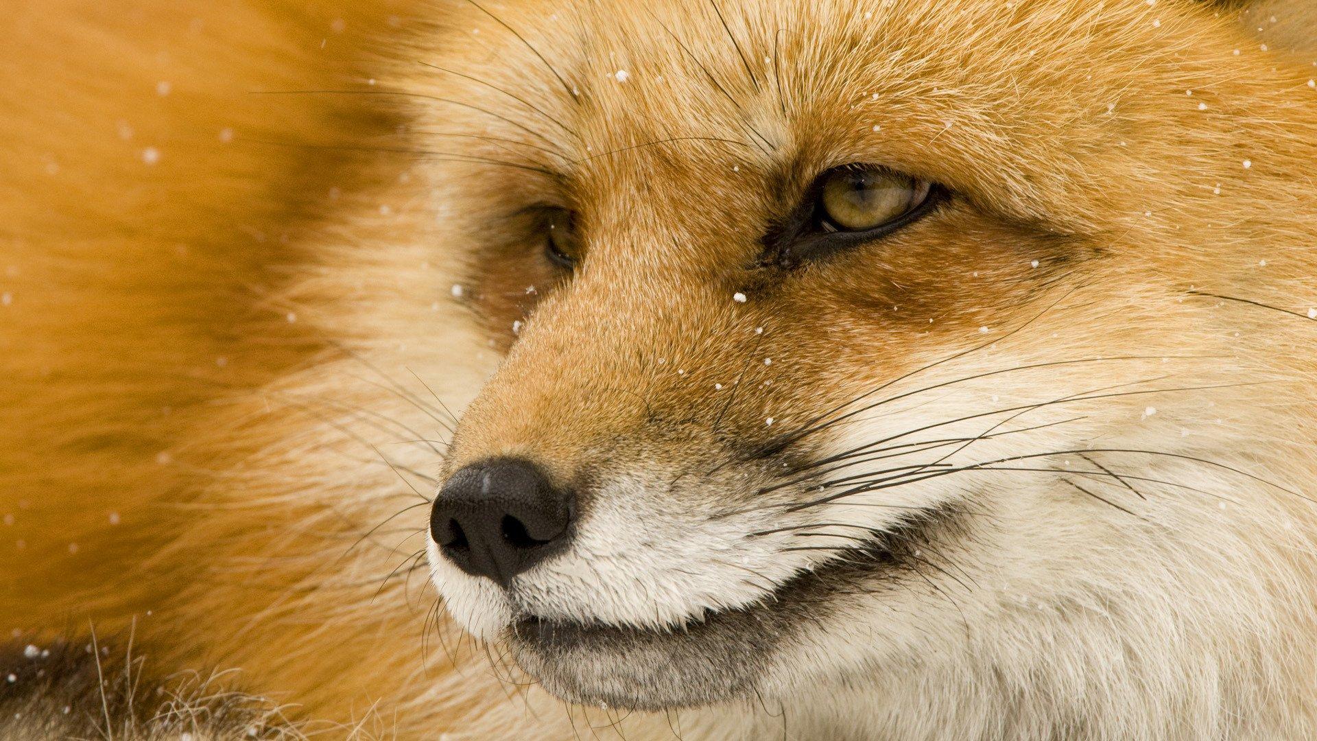 Поздравления, открытки животные лиса