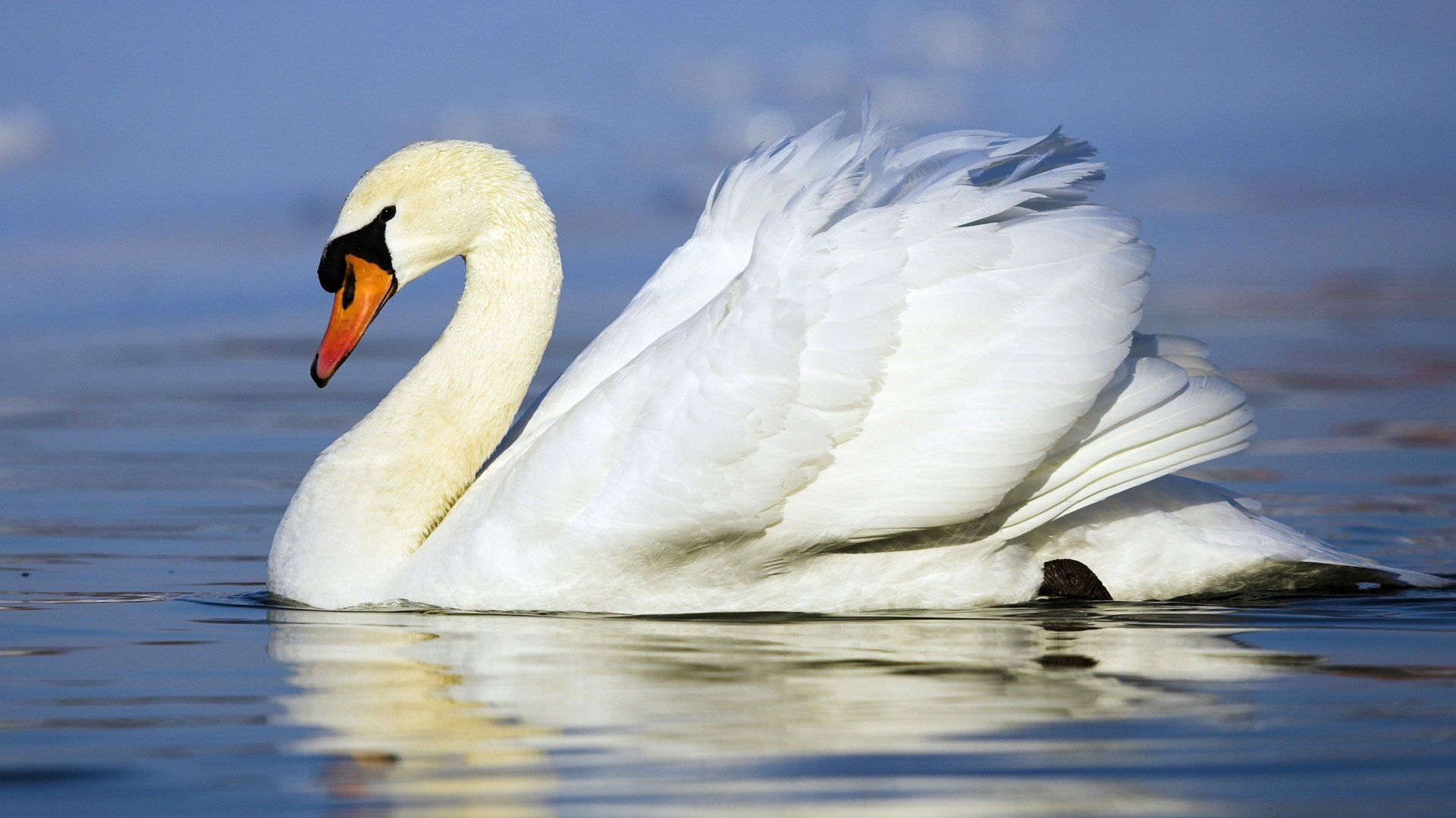 Swan and eagle pictures