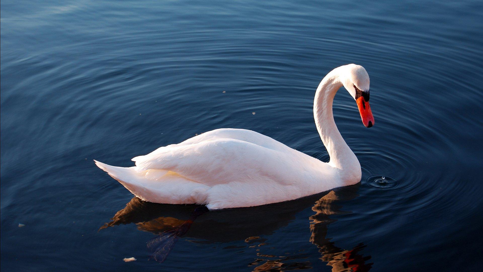 Картинки красивые лебедь птица белая