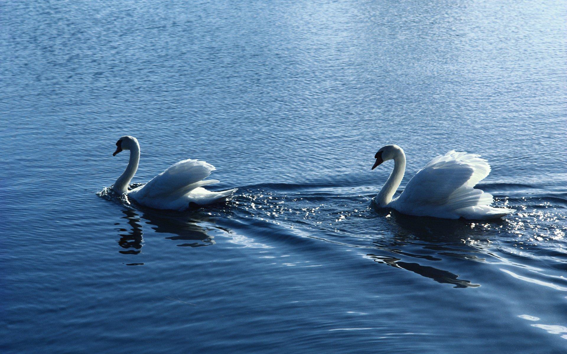 фотообои для рабочего стола белые лебеди химию